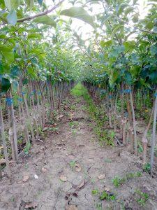 Apple KNIP-BOOM trees 2 years old-2