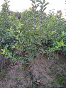 Apple KNIP-BOOM trees 2 years old
