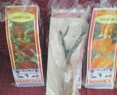 Rose-saplings-1