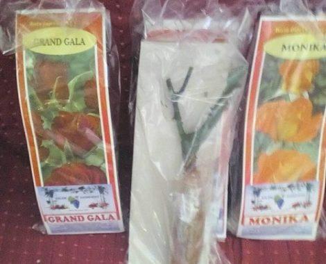 Rose saplings-2