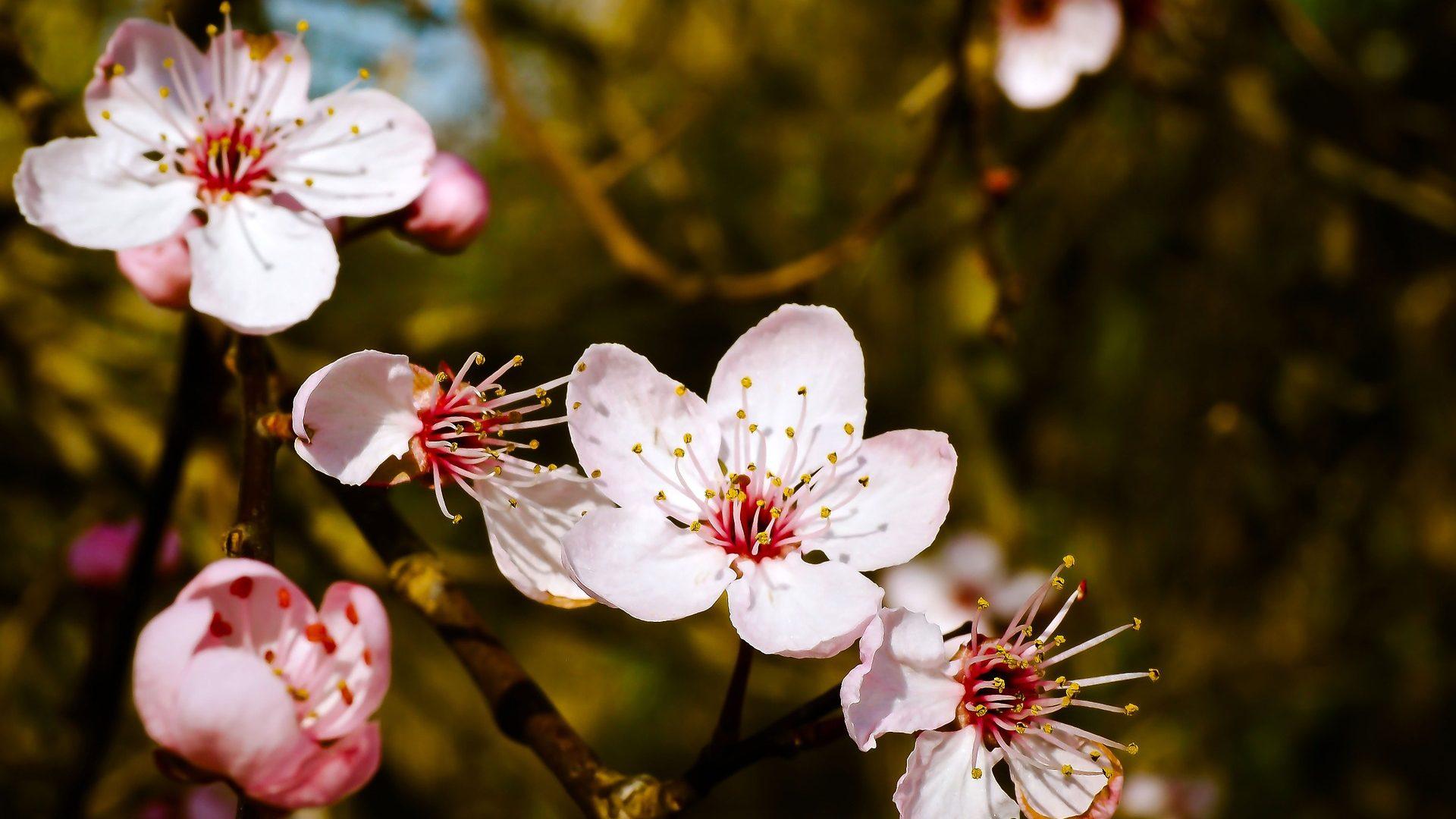 almond-blossom-1229141_1920