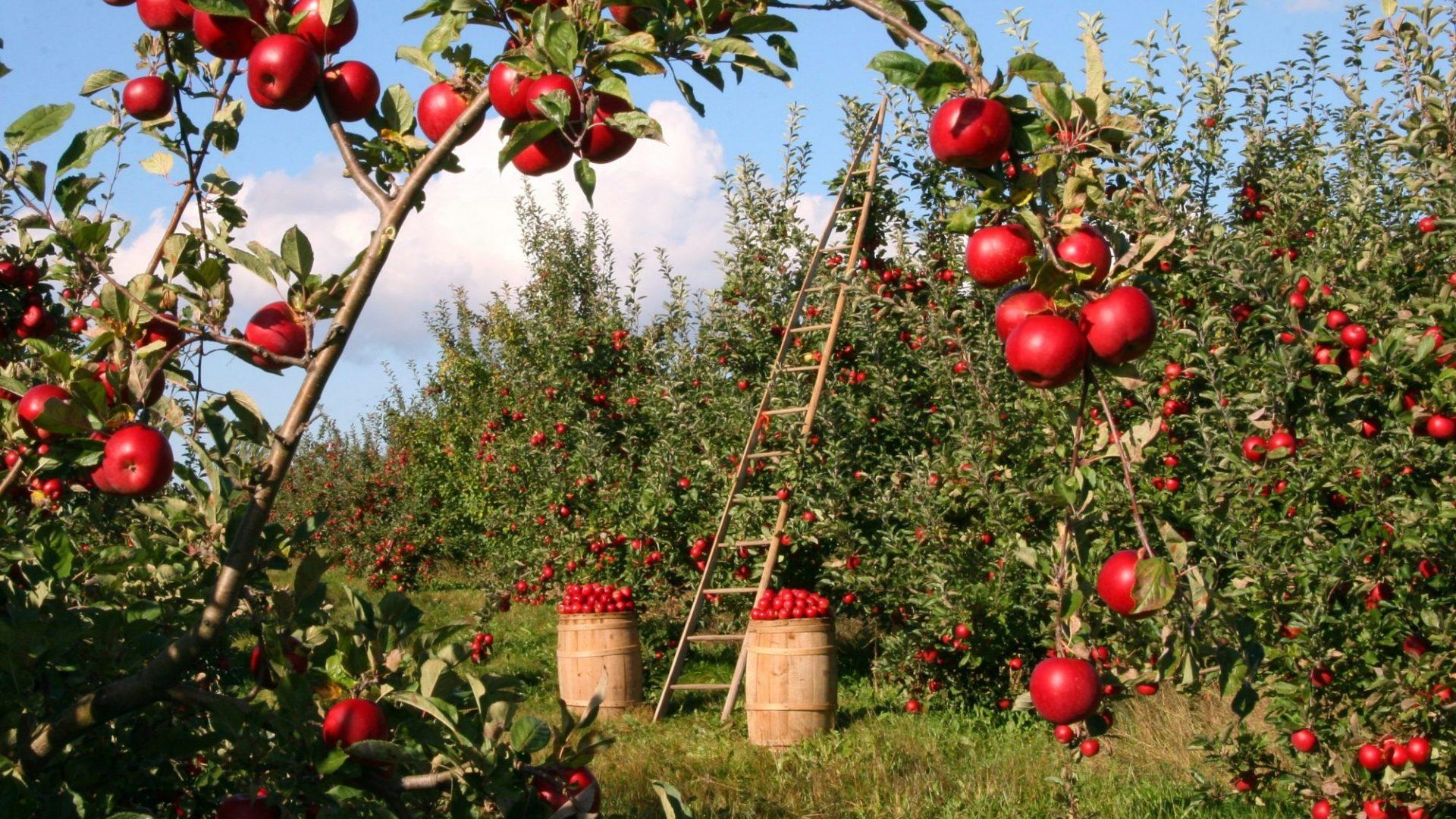 apple-1873078