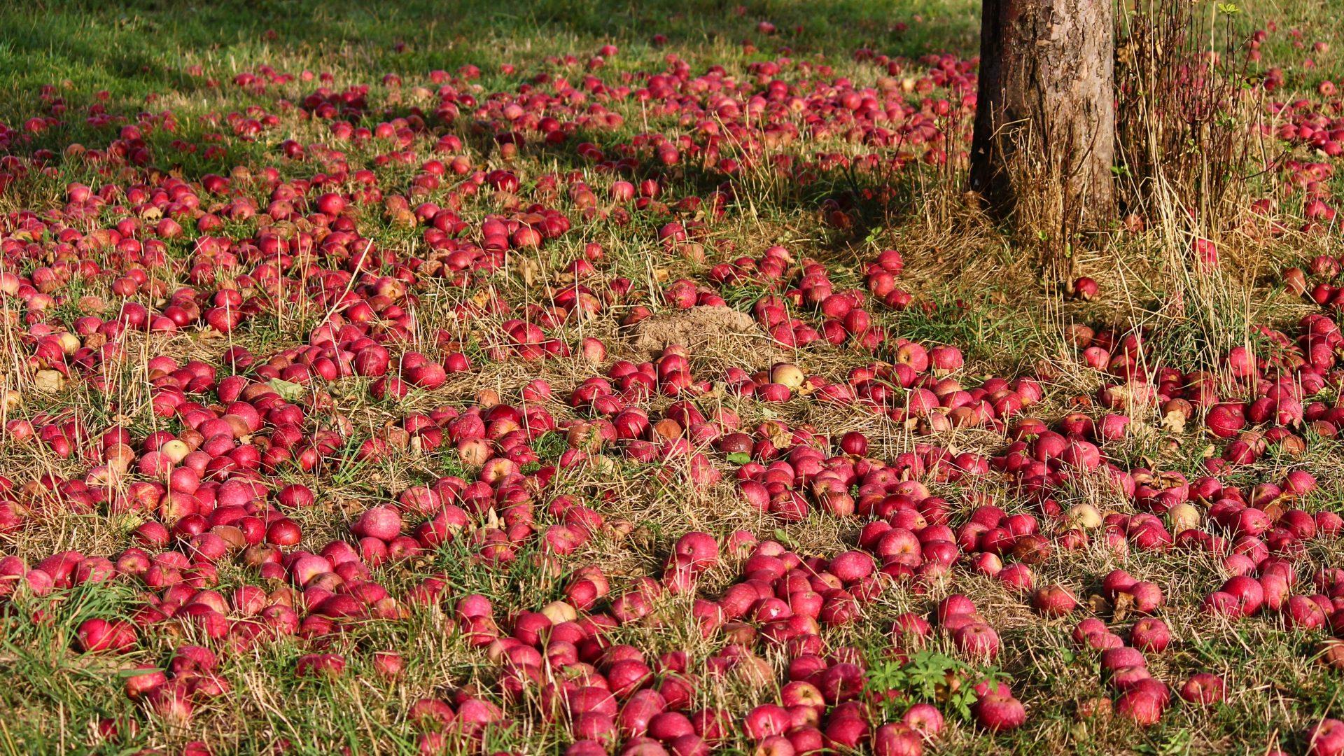 apple-3684775