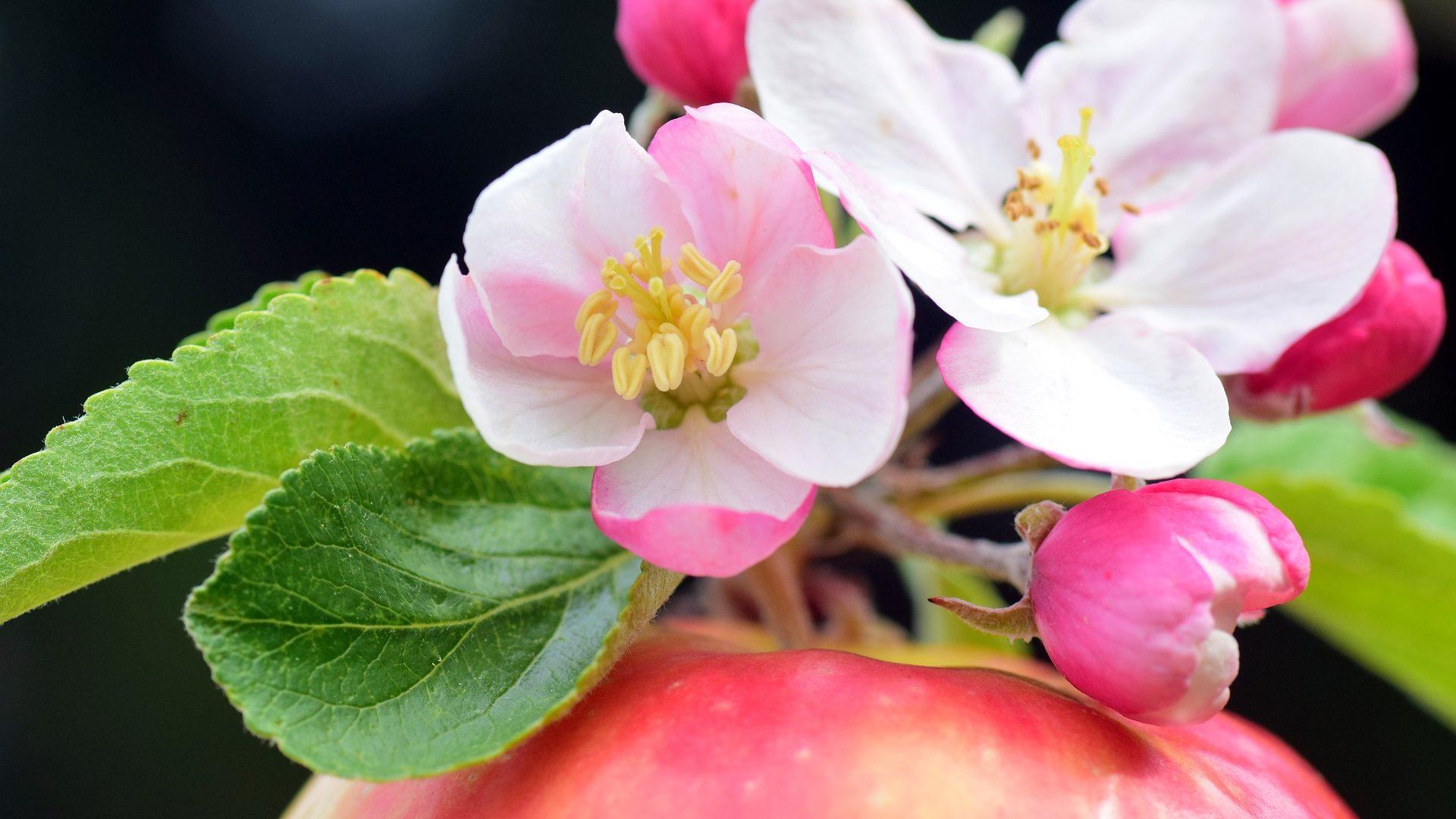 apple blossom-2274007_1920