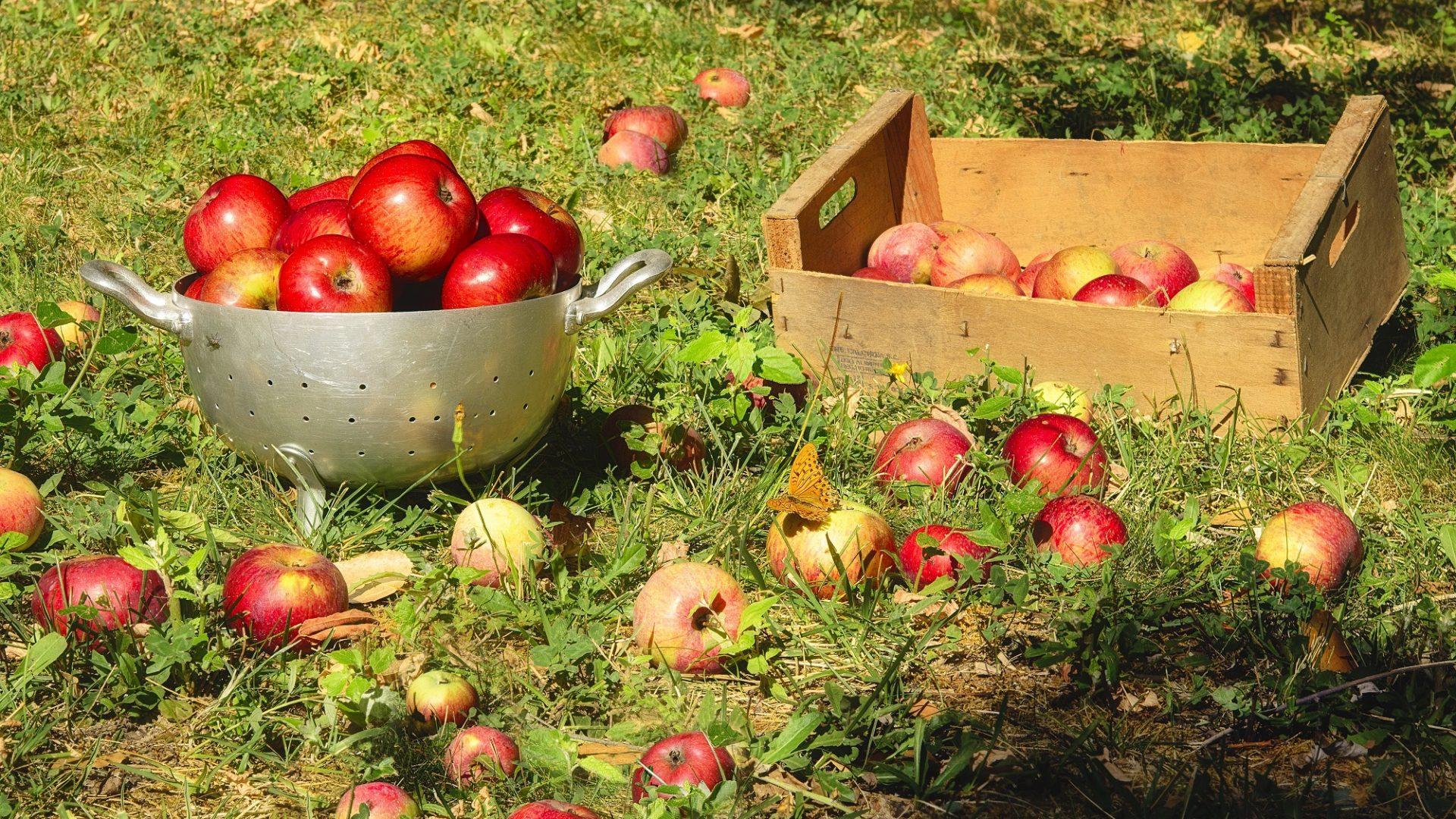 apples-16819789