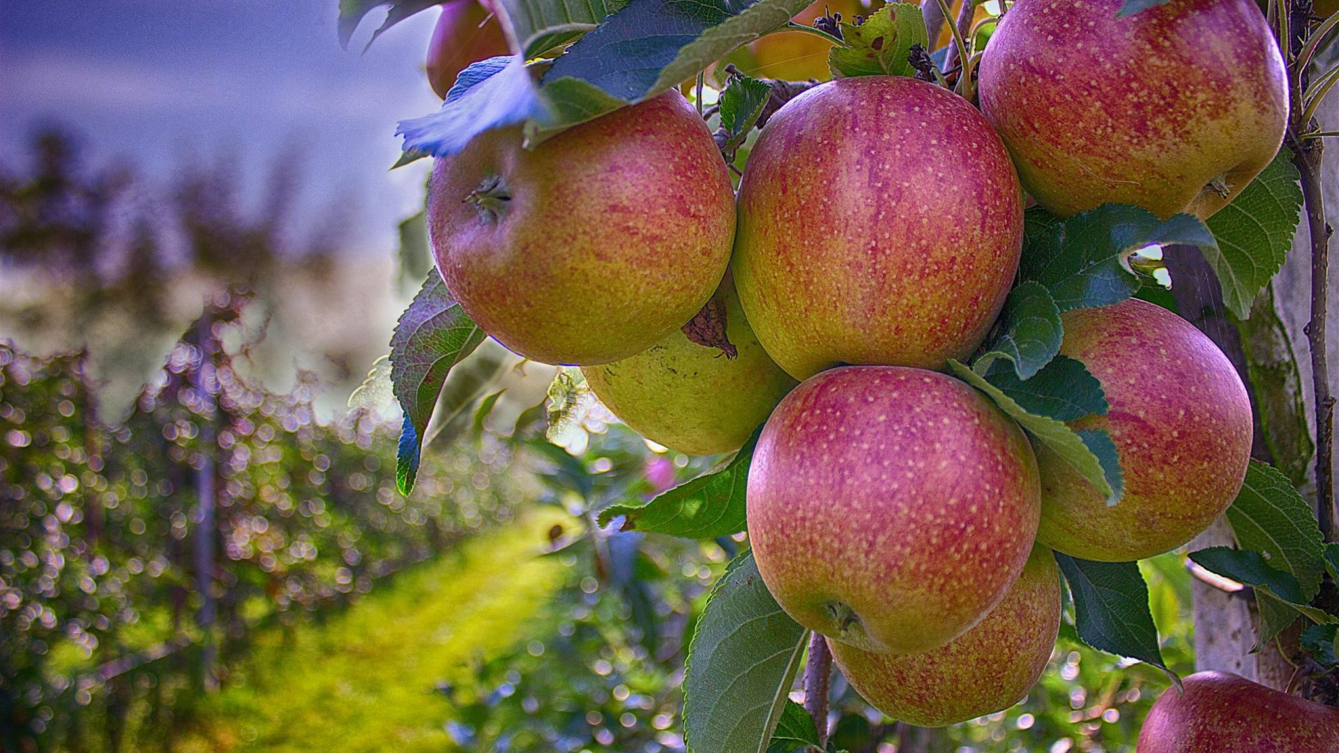 apples-490475