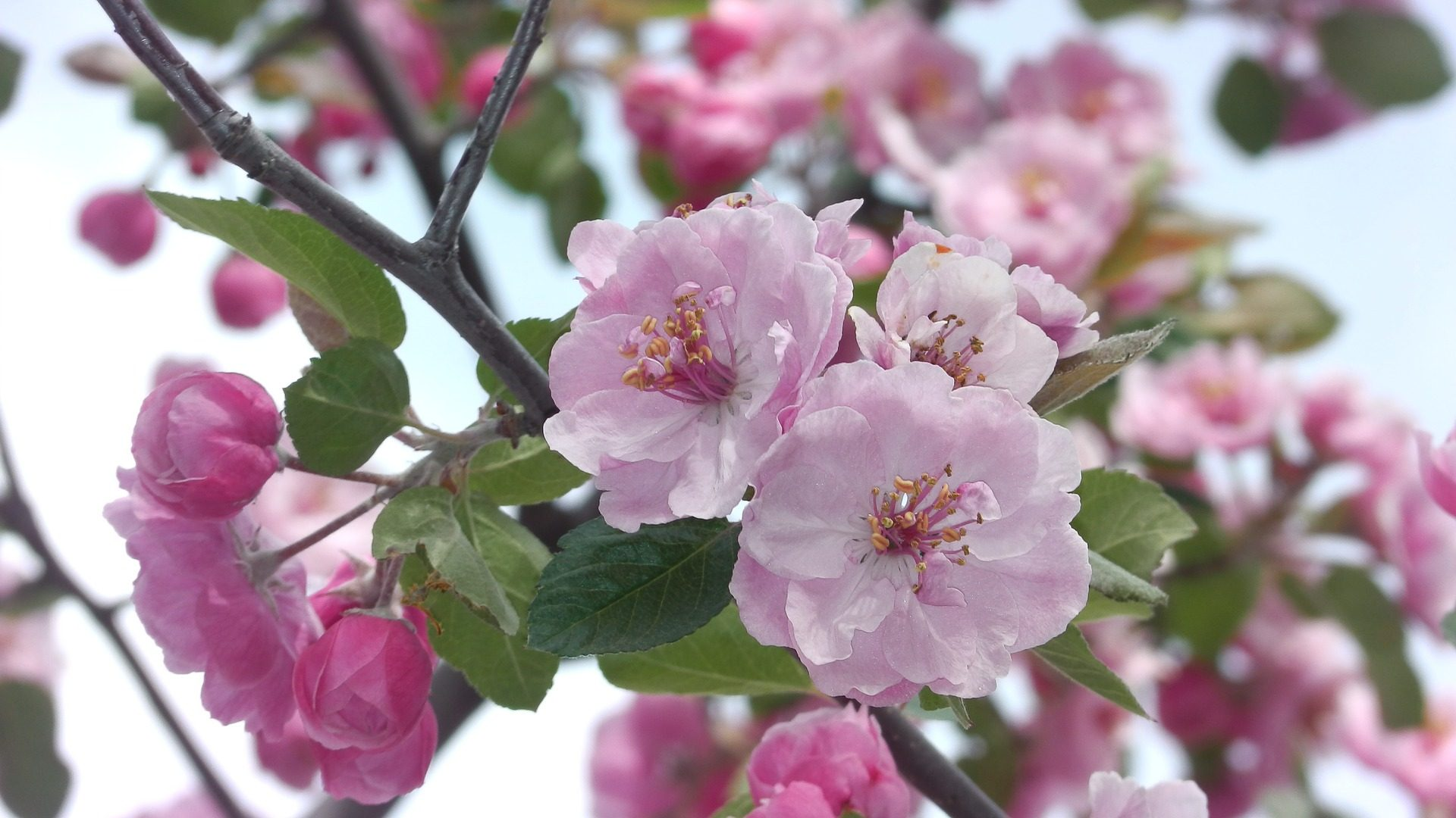 apricot blossom-1188141_1920