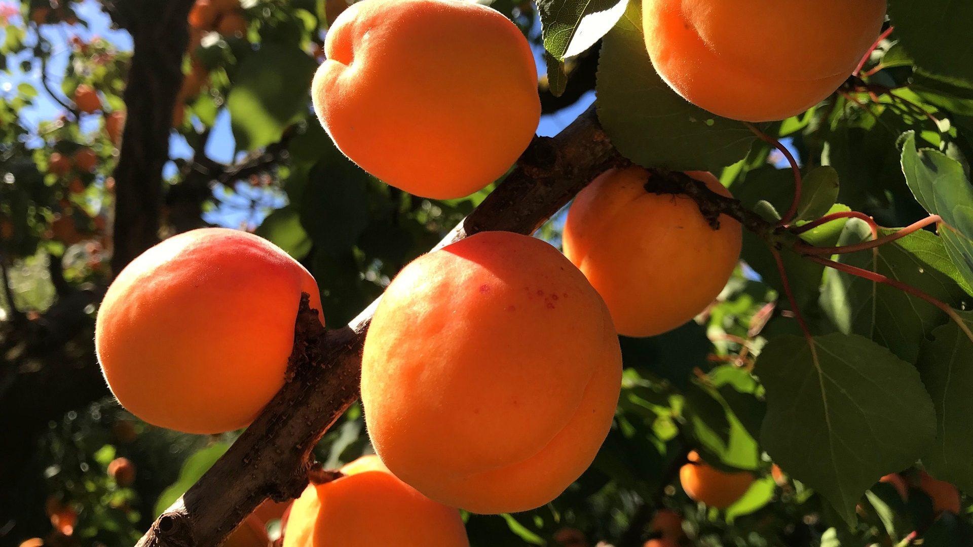 apricot fruit-3213068_1920