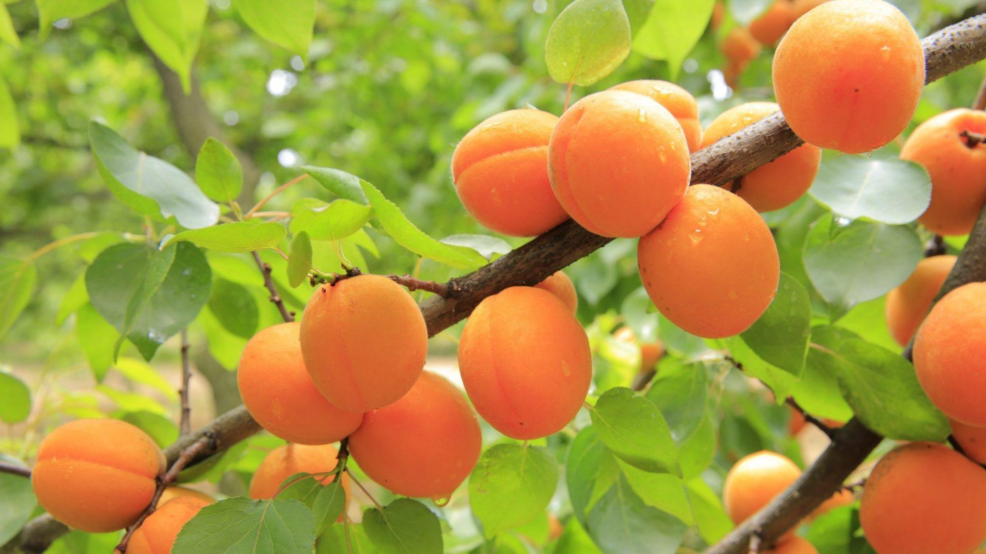 apricots-824626