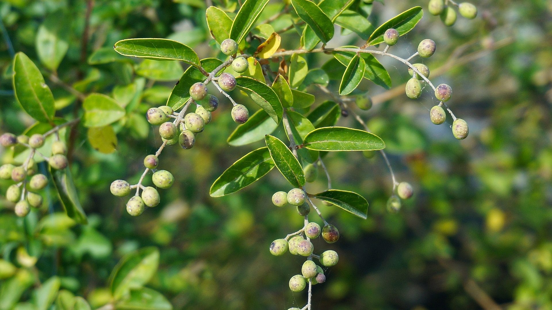 aronia-chokeberry-1741379_1920