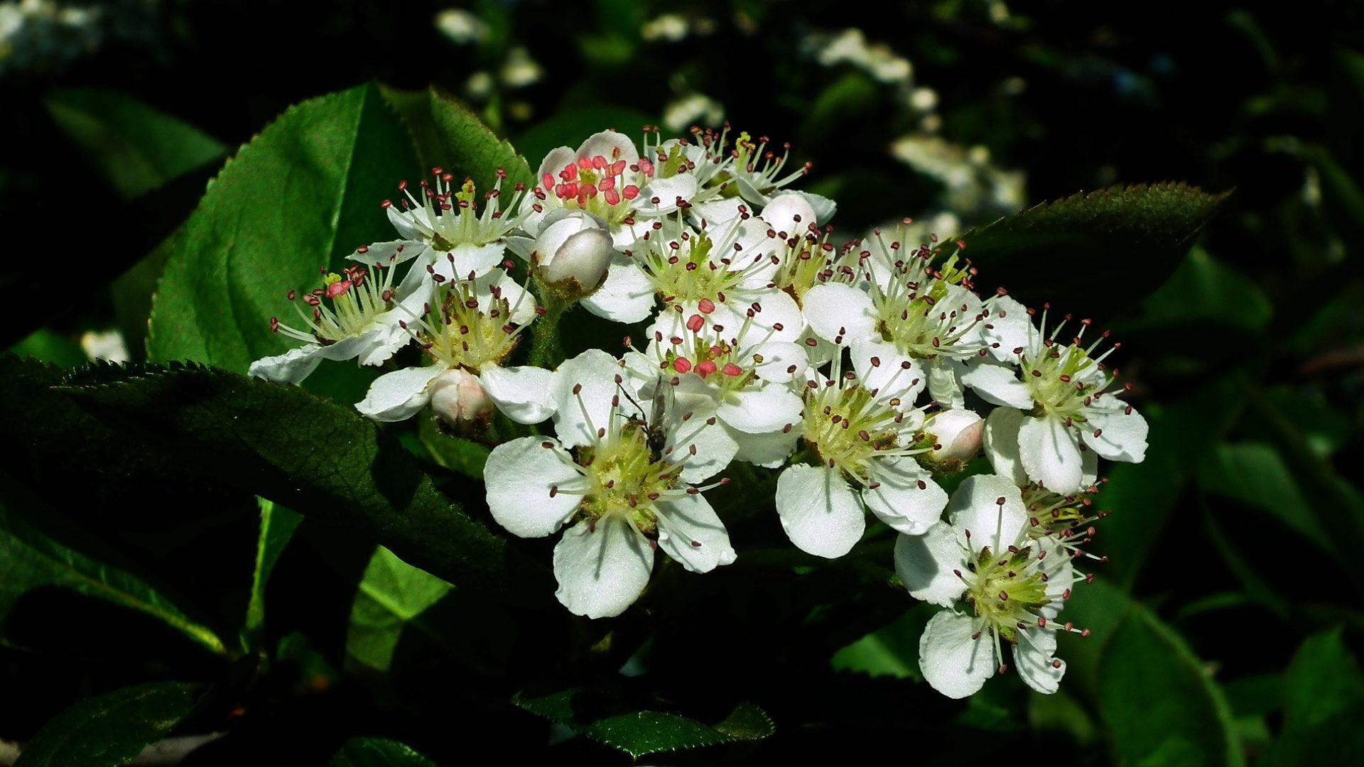 aronia-nature-3358645_1920