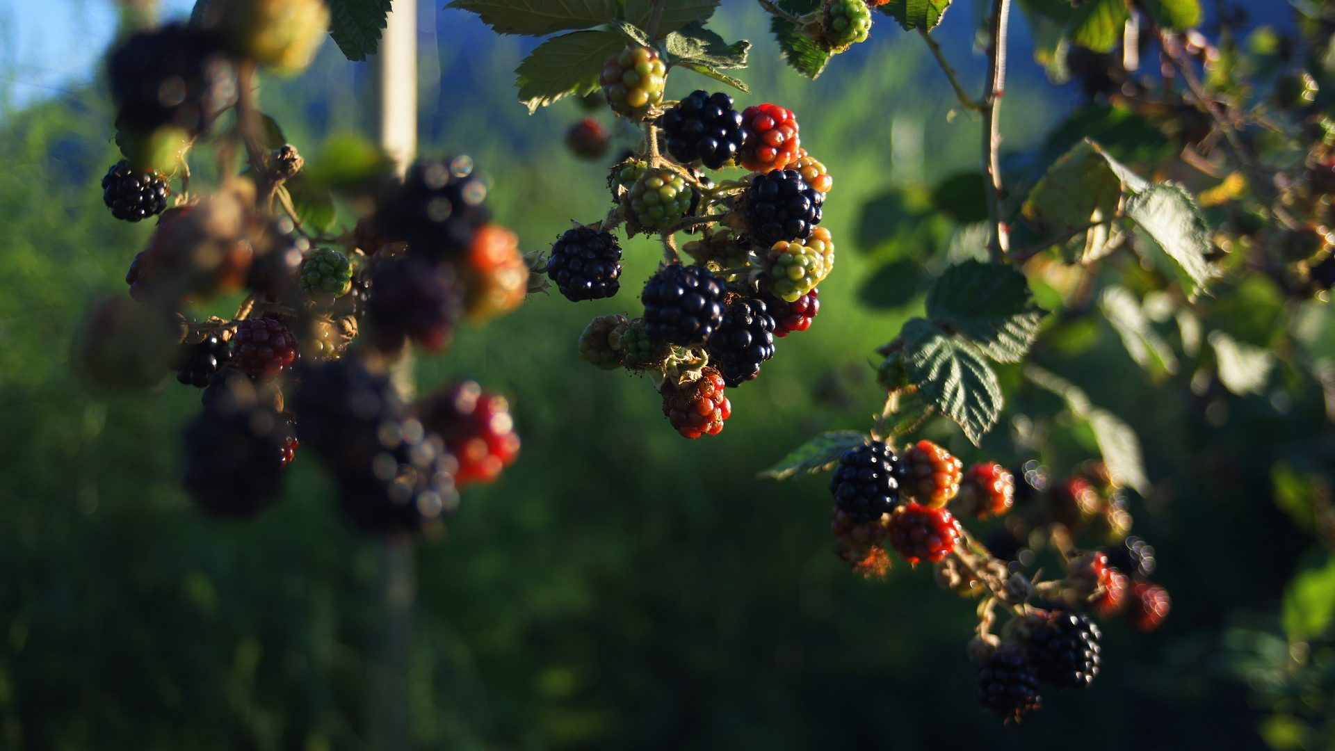 blackberries-3499218_1920