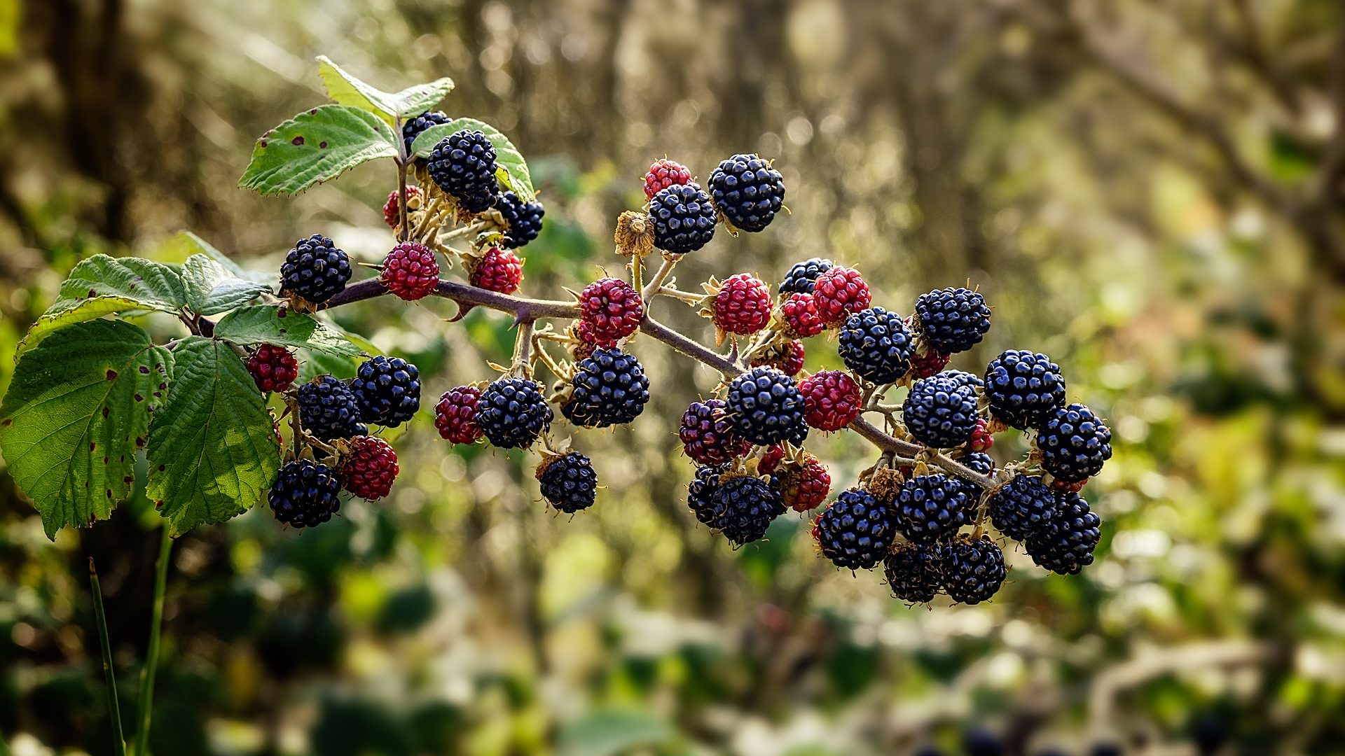 blackberries bramble-1687348_1920