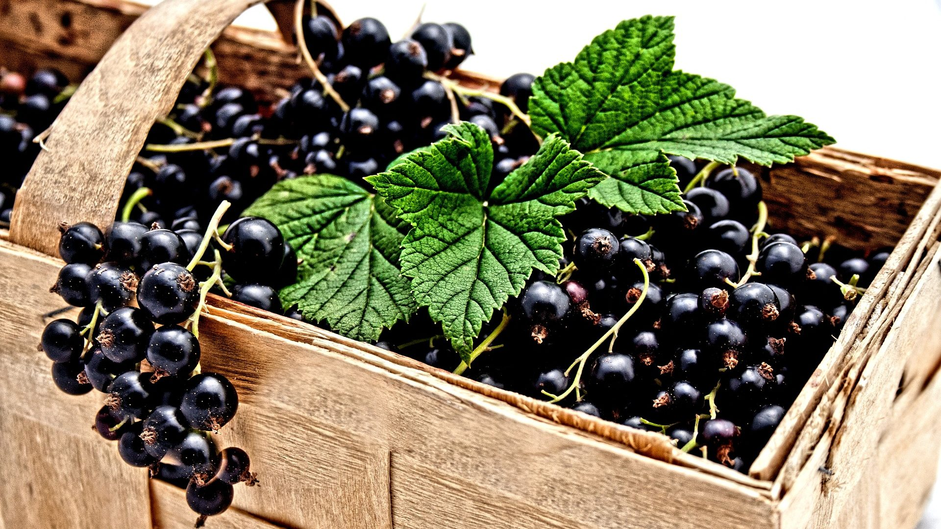 blackcurrant-2105600_1920