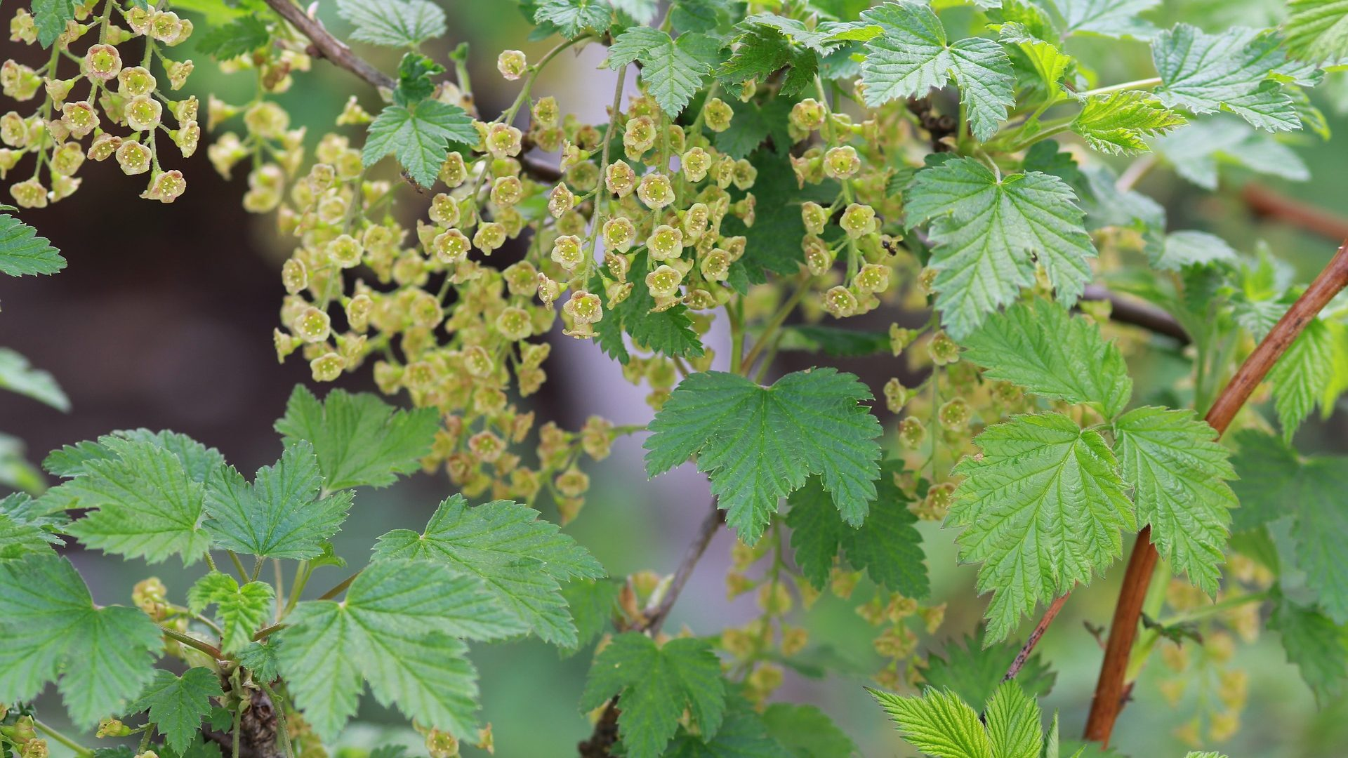 blackcurrant-spring-2748637_1920
