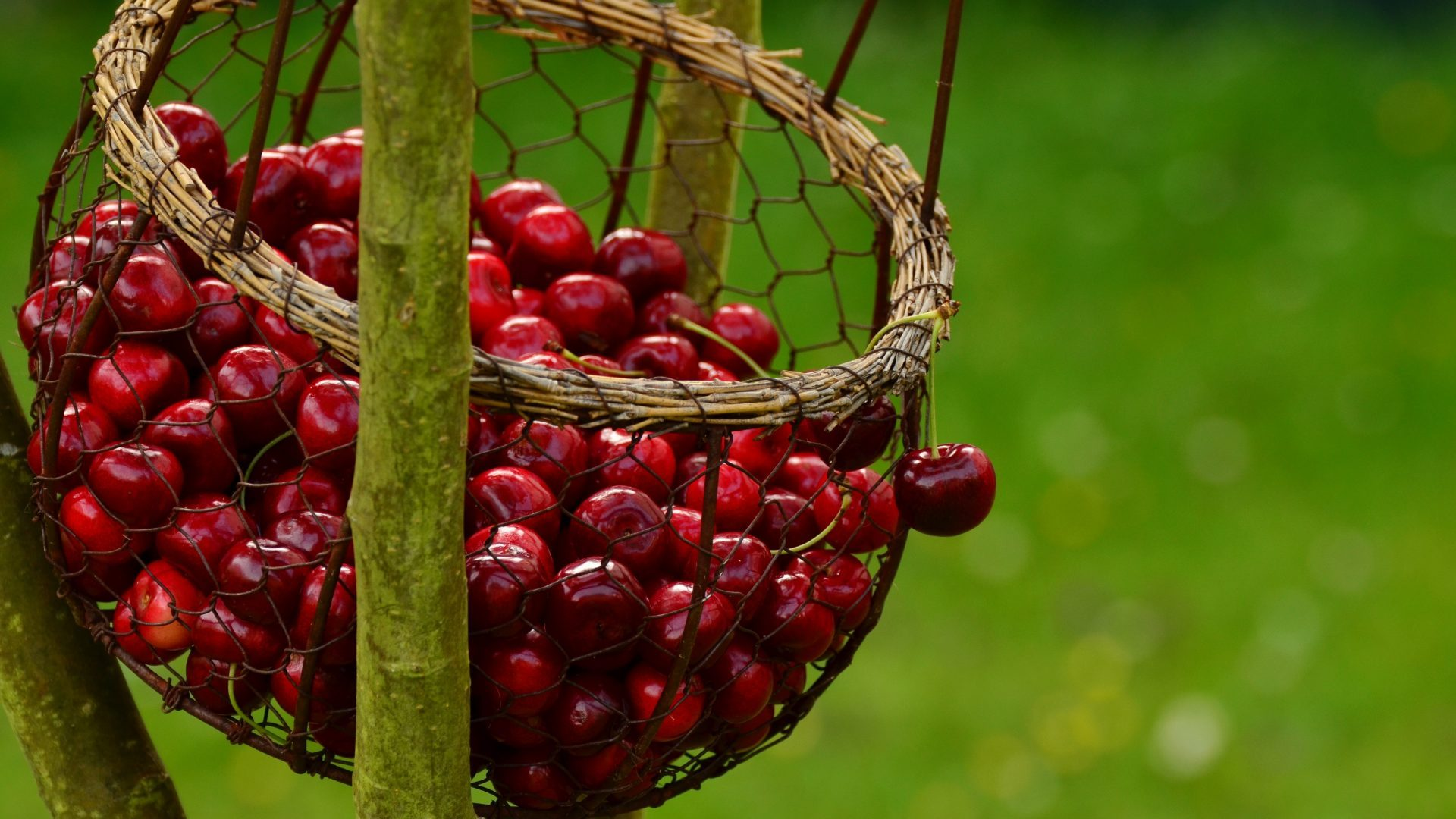 cherries-1503974
