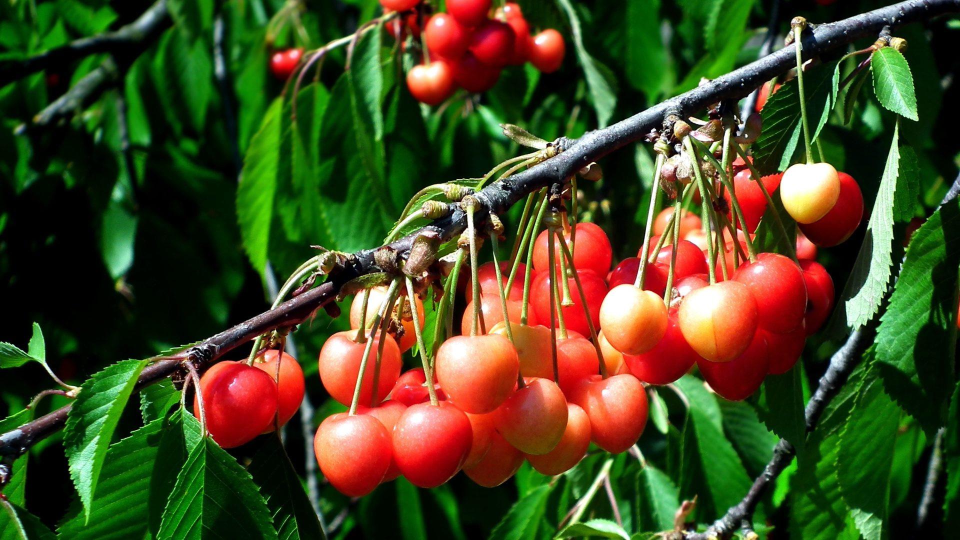 cherries-3627043