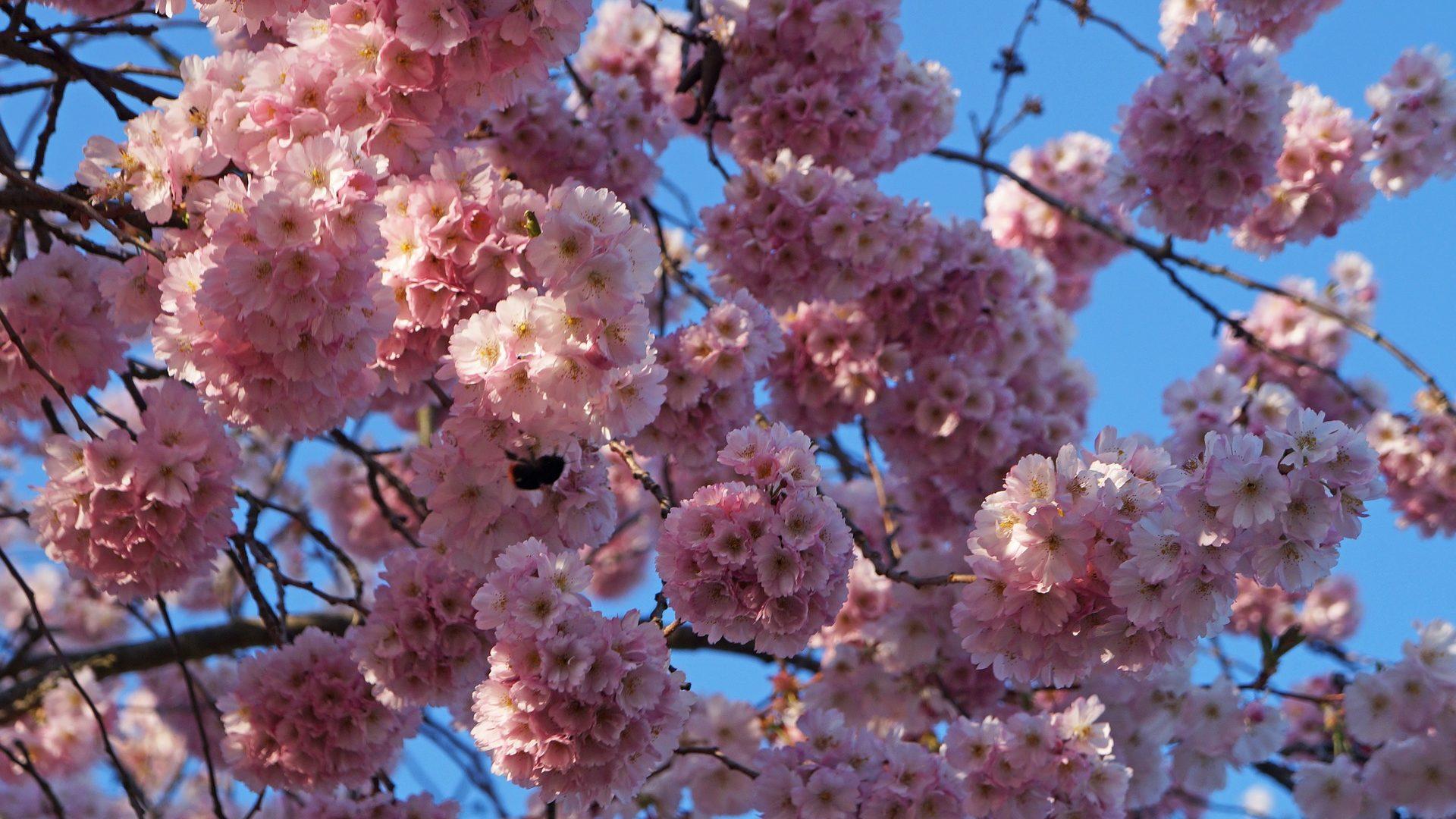 cherry-blossom-837425_1920