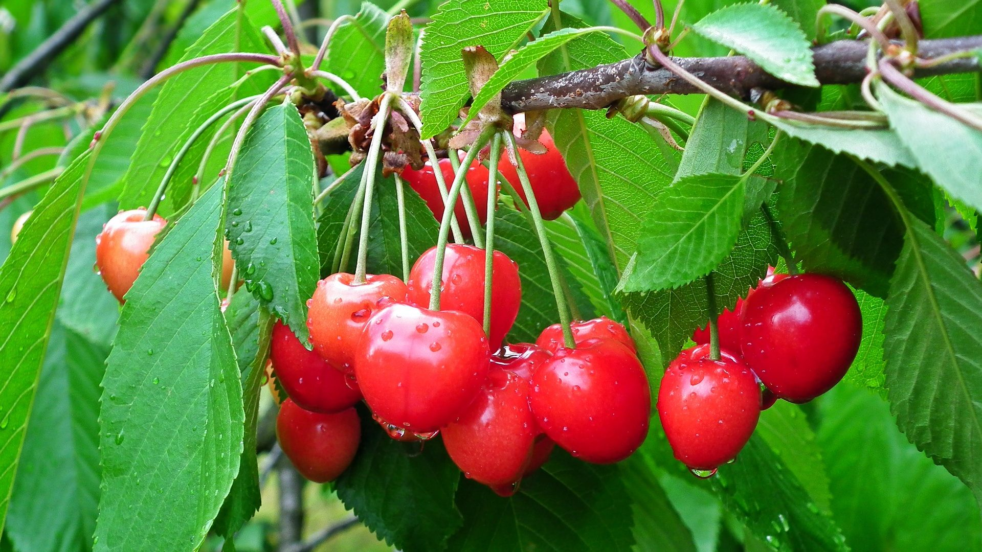 cherry fruit-3394781_1920