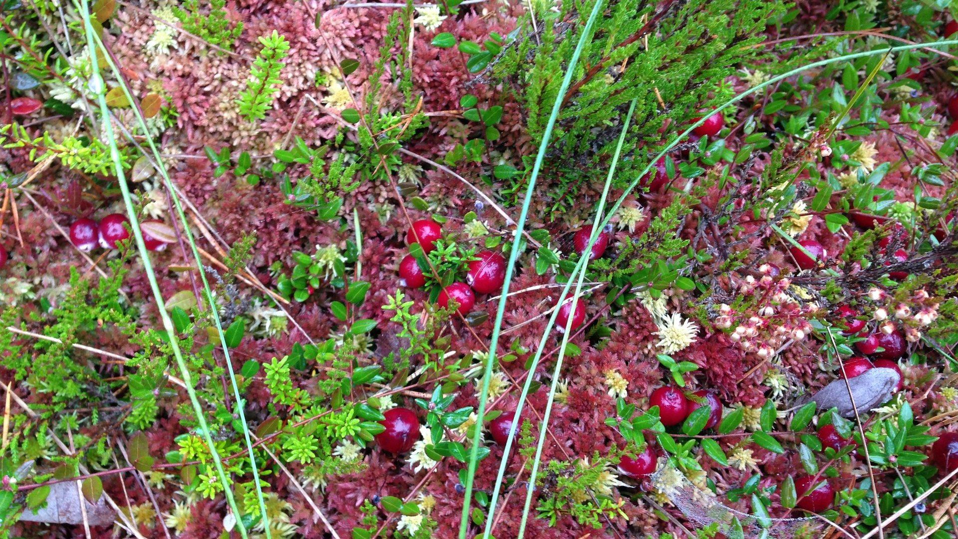 cranberry-bog-2798548_1920
