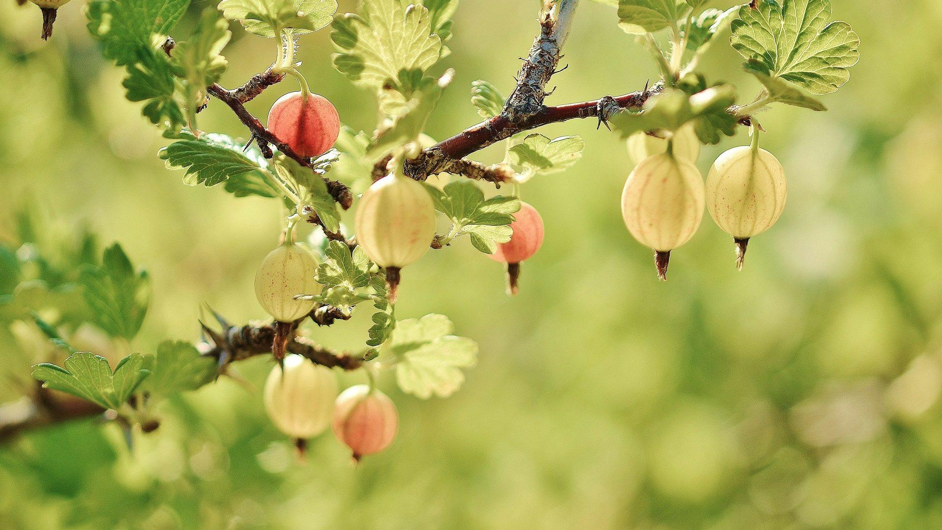 gooseberry-176450_1920