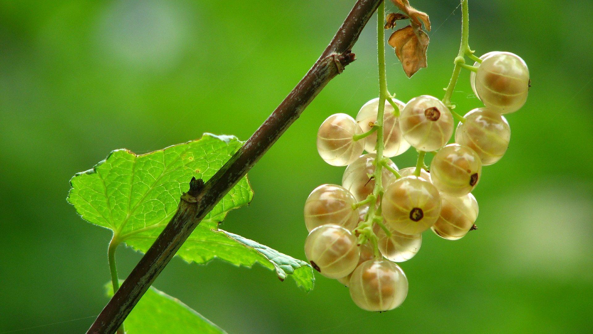gooseberry-372627_1920