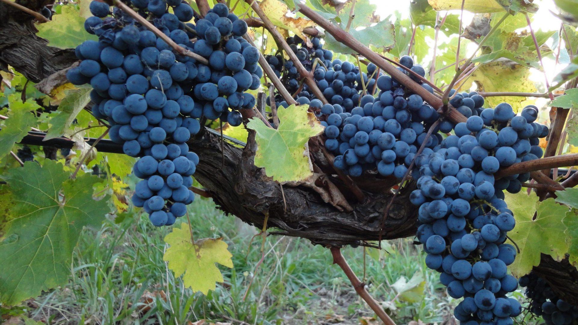 grape-1646712