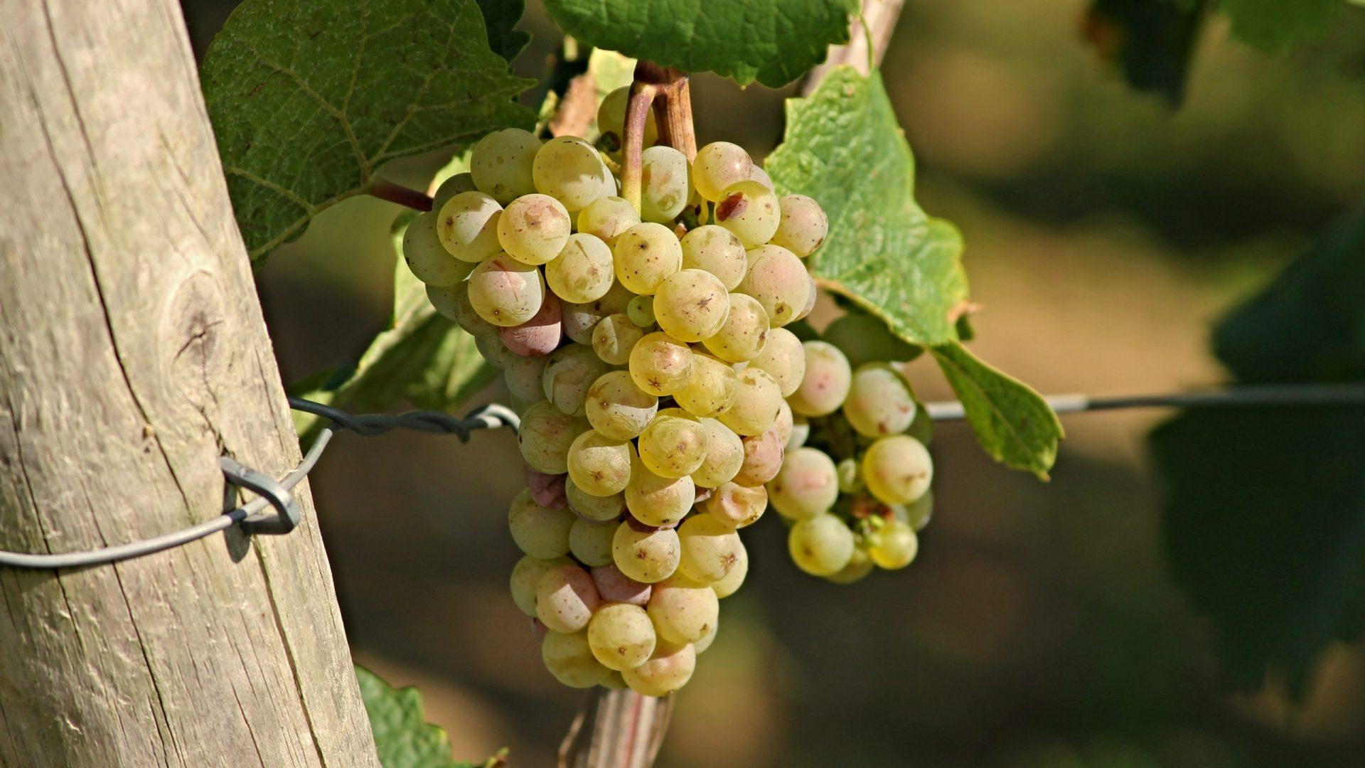 grape-2763256
