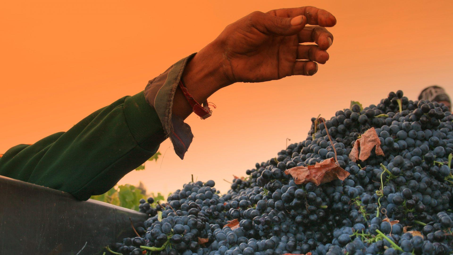 grape hand-227783