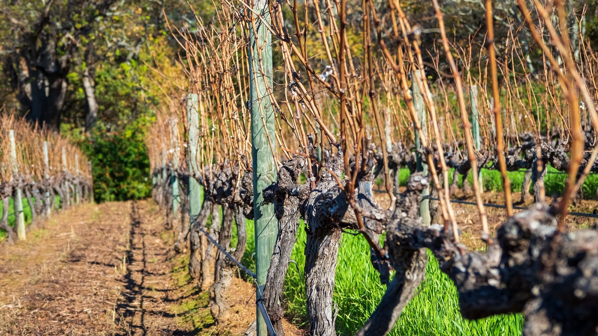 grape-vines-3589423_1920
