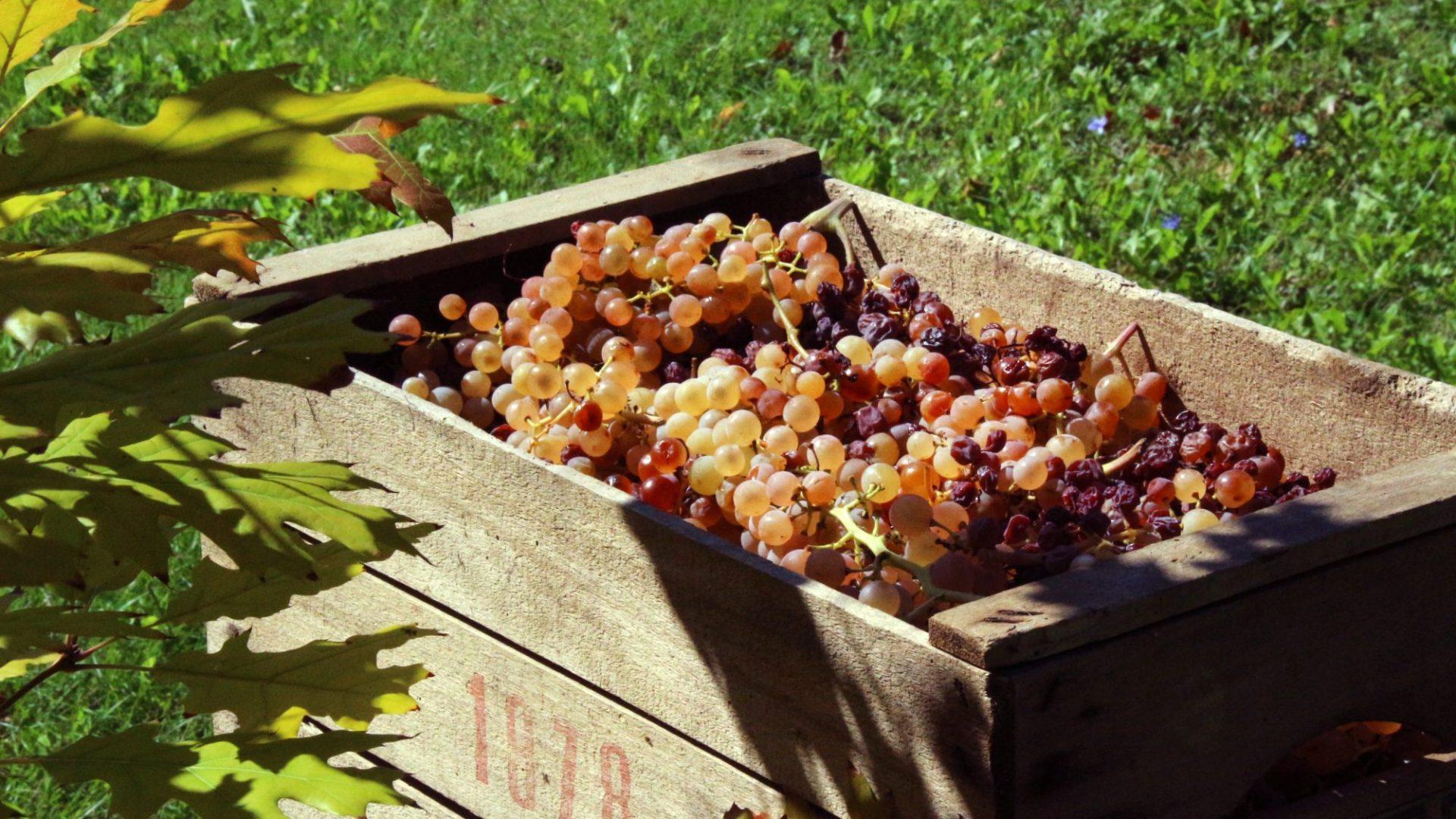 grape vintage-2768626