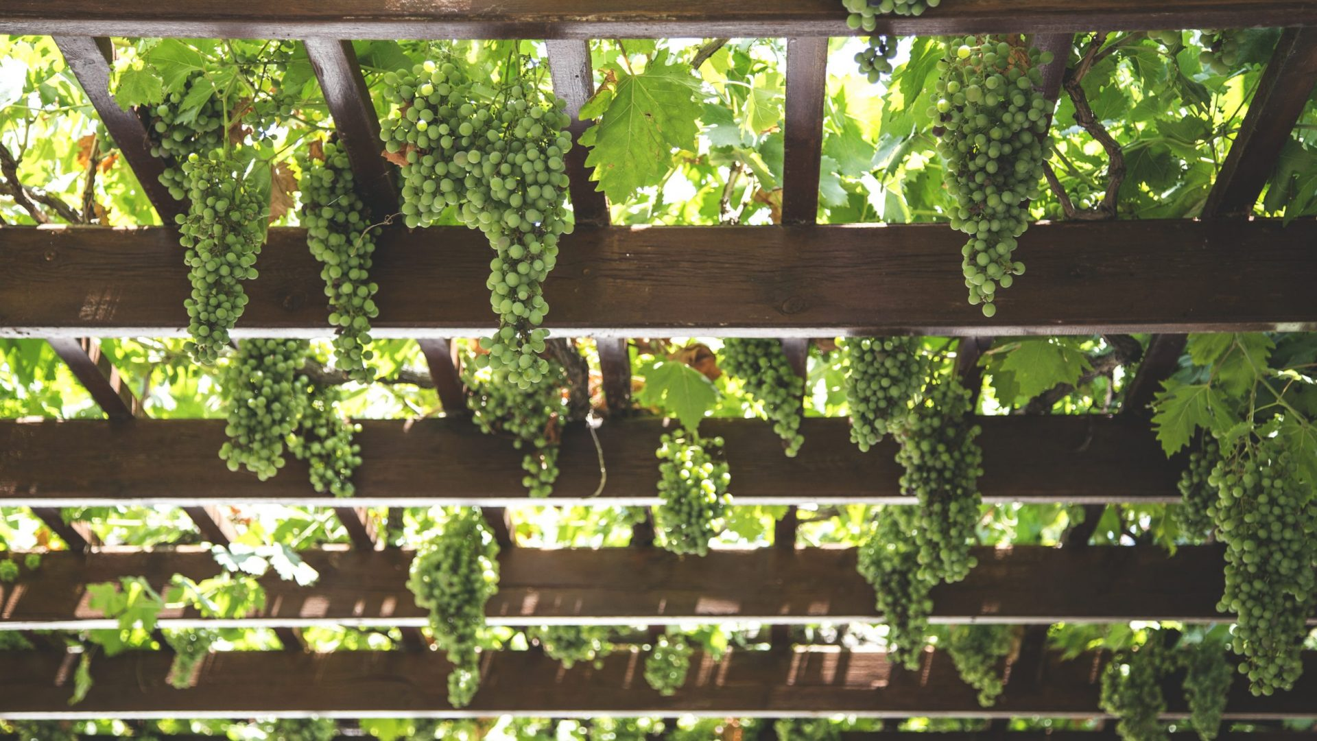 grapes-1542862