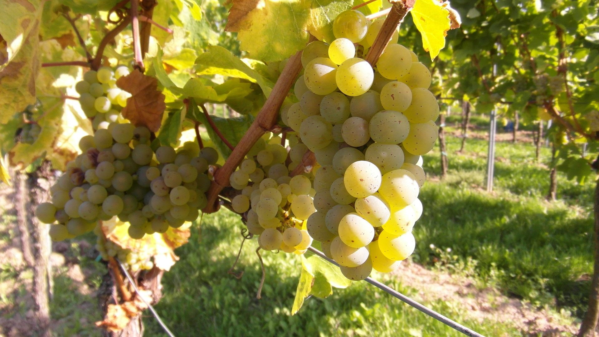 grapes-259862_1920