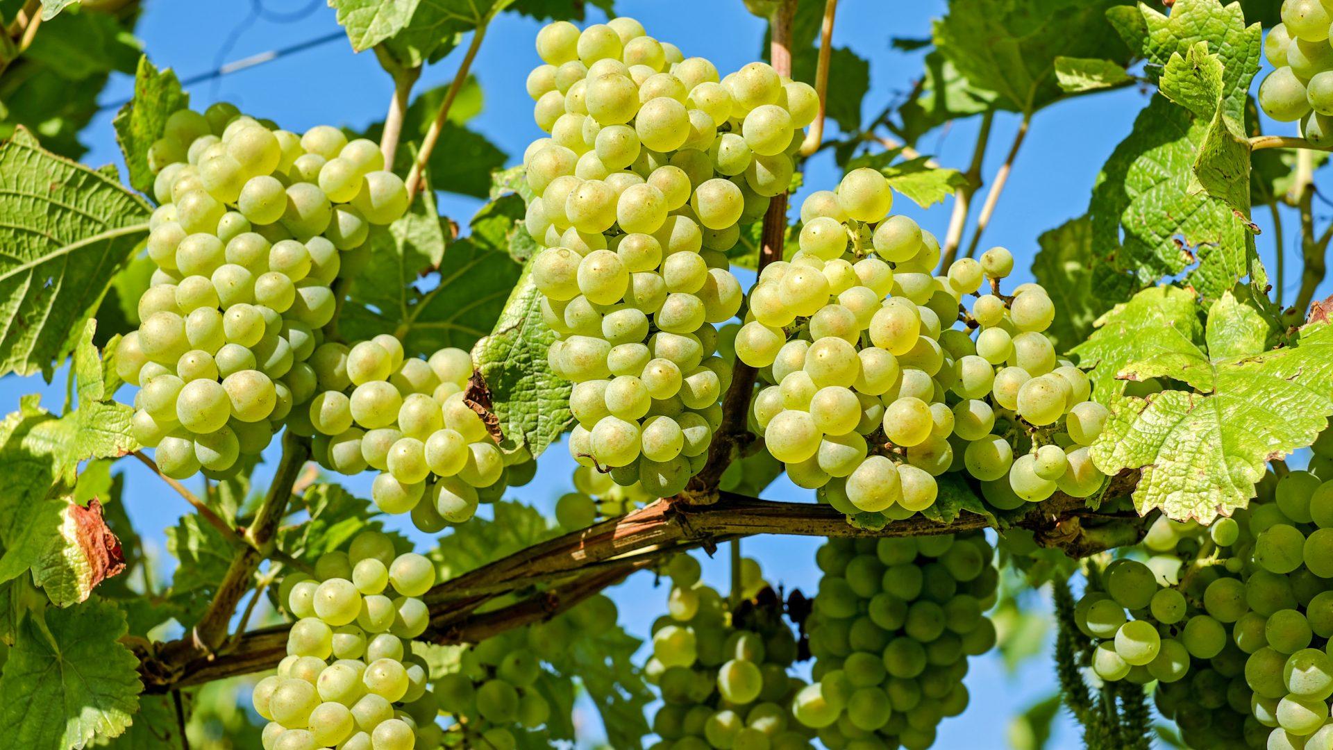 grapes-2656259
