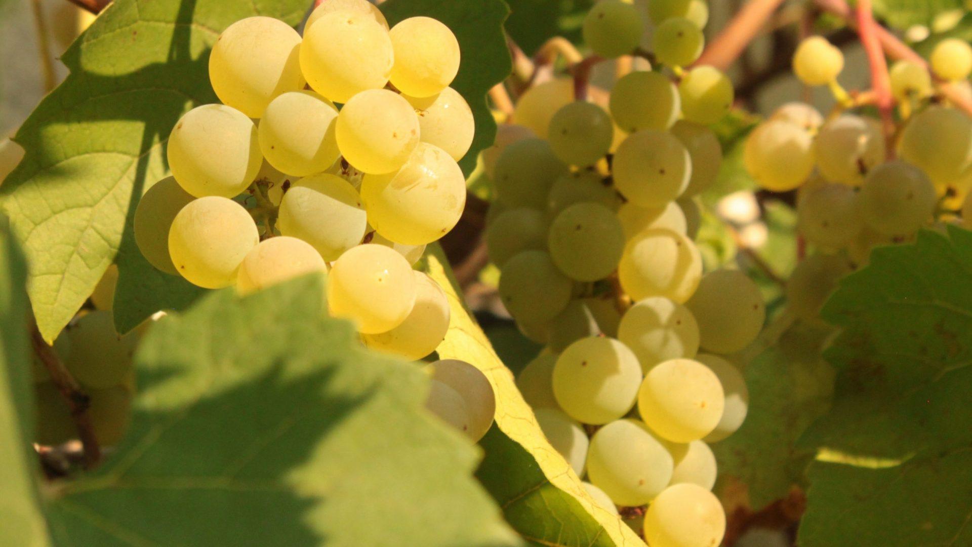 grapes-3602117