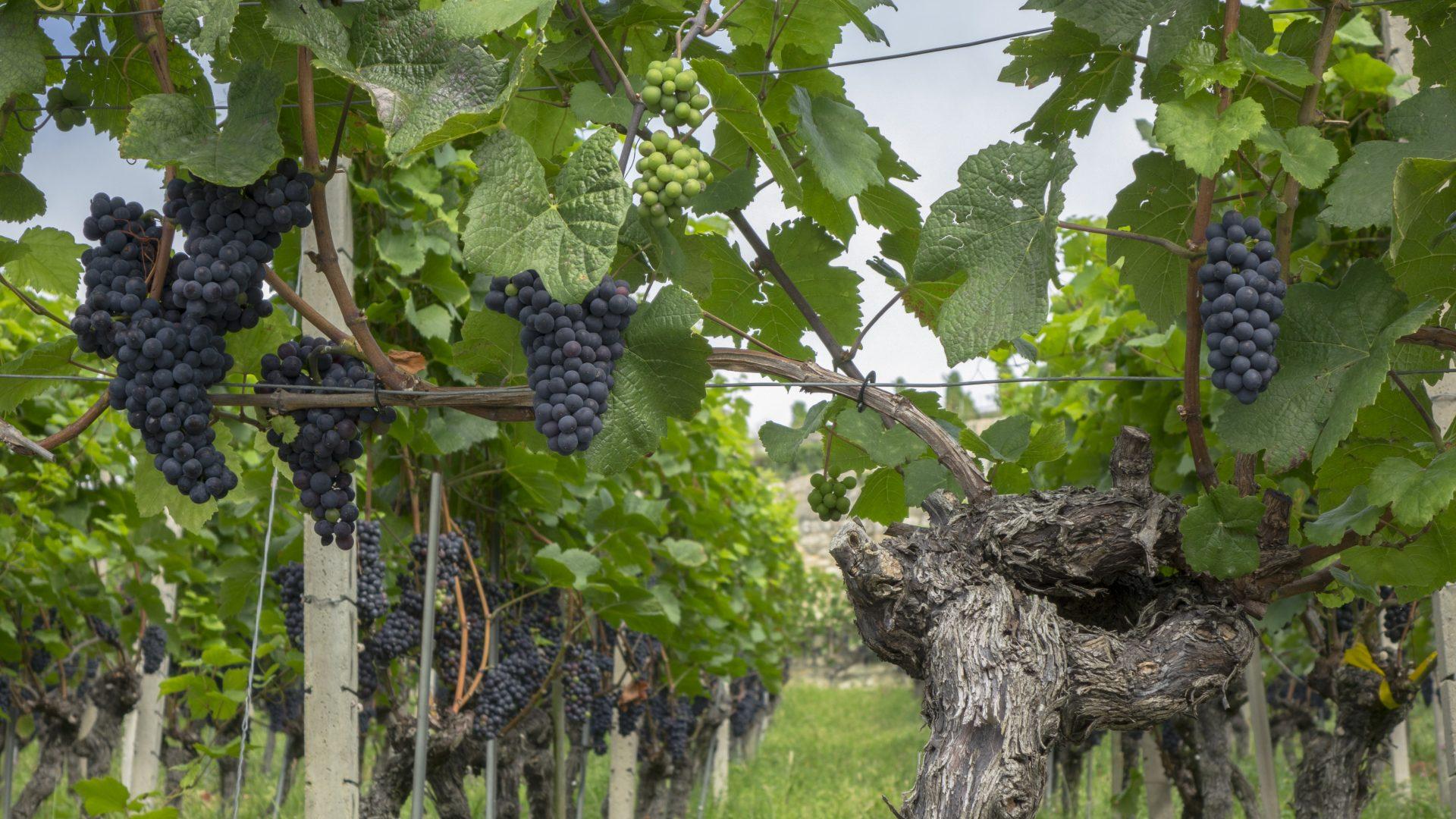 grapes-3617546