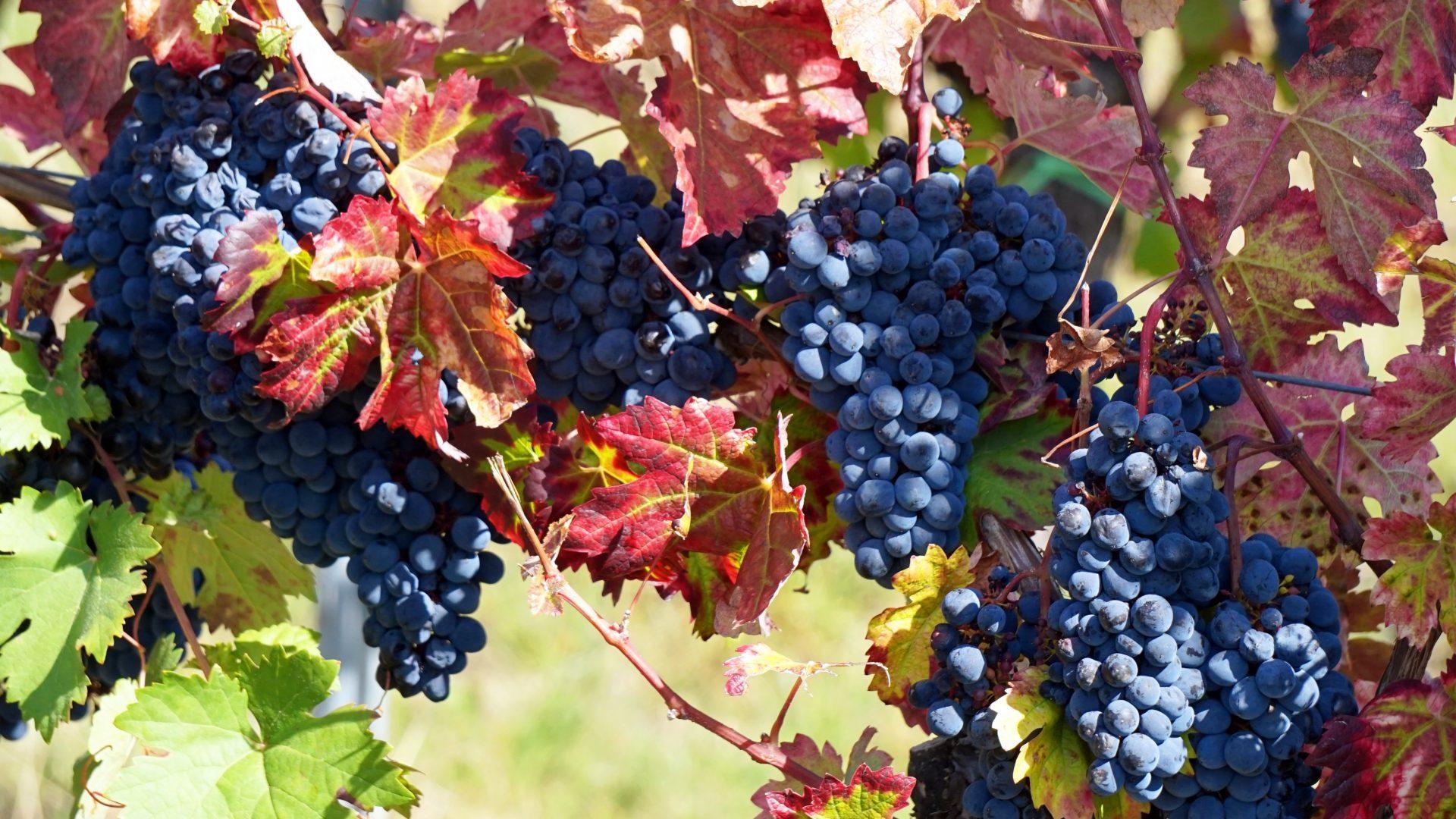 grapes-3681761