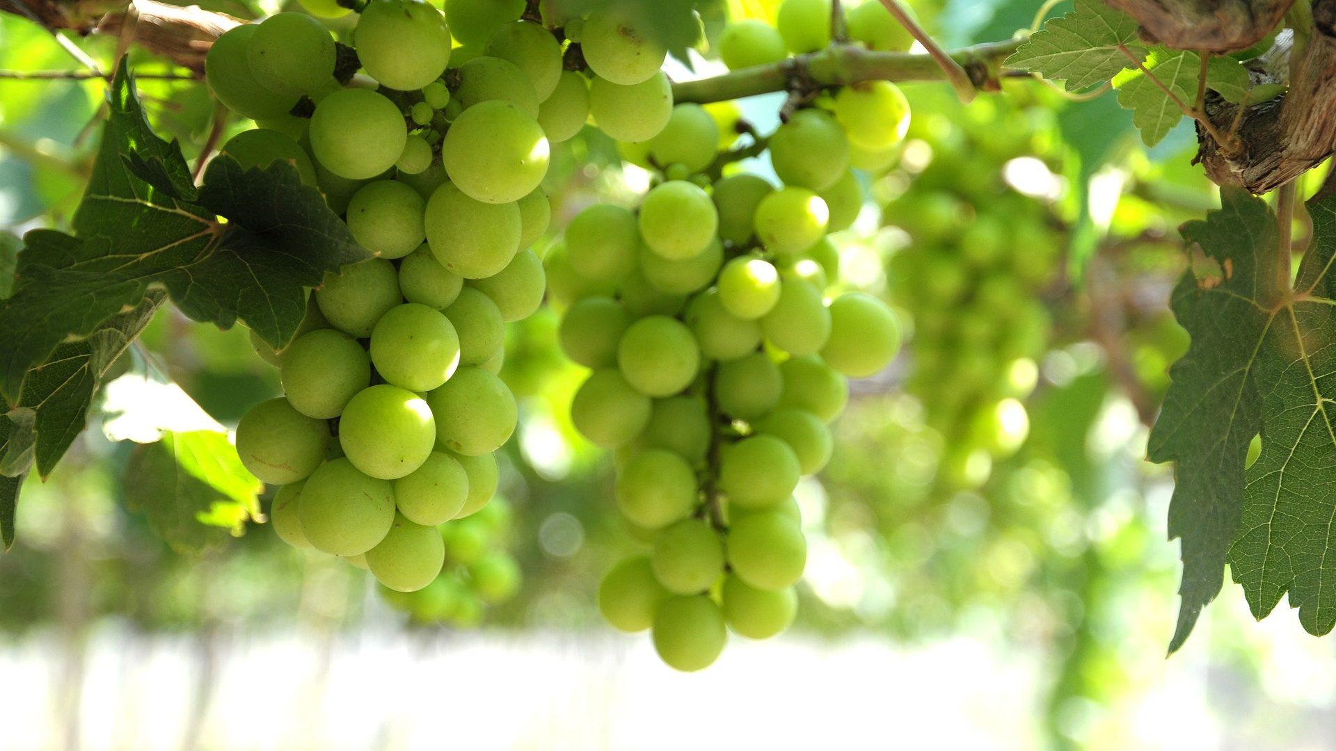grapes-4239837_1920
