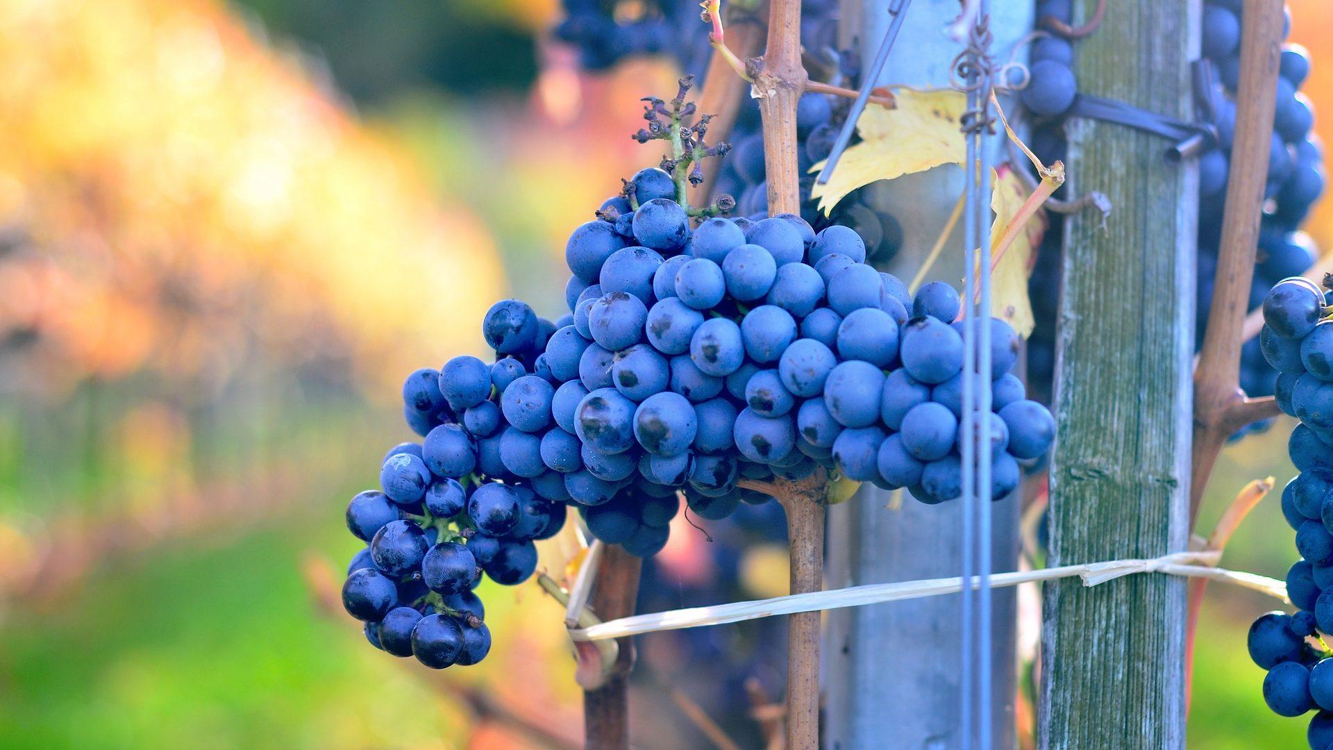 grapes-492584_1920