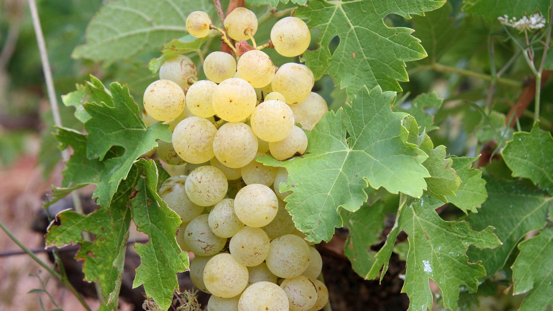 grapes-522009_1920