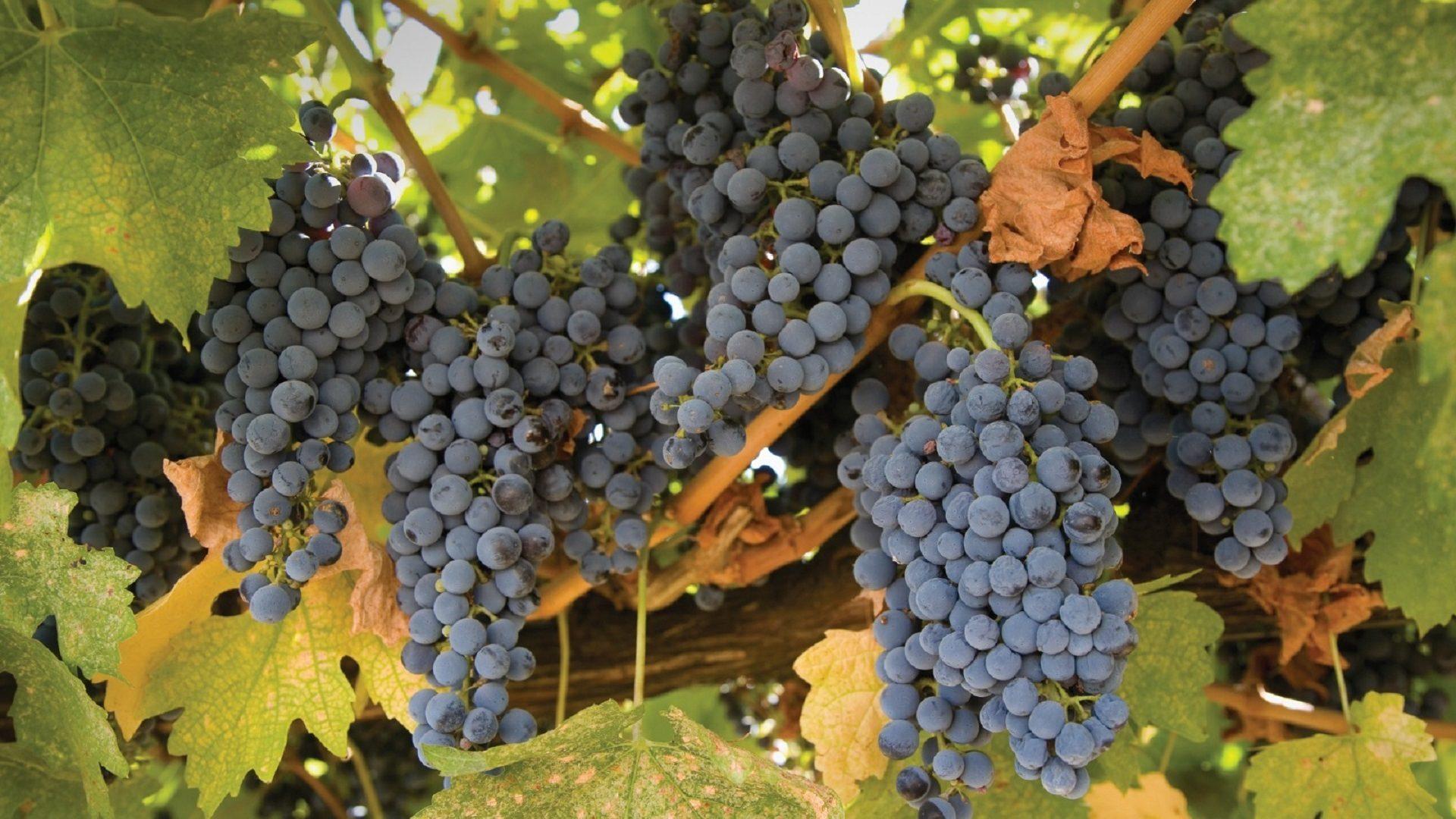 grapes-982615