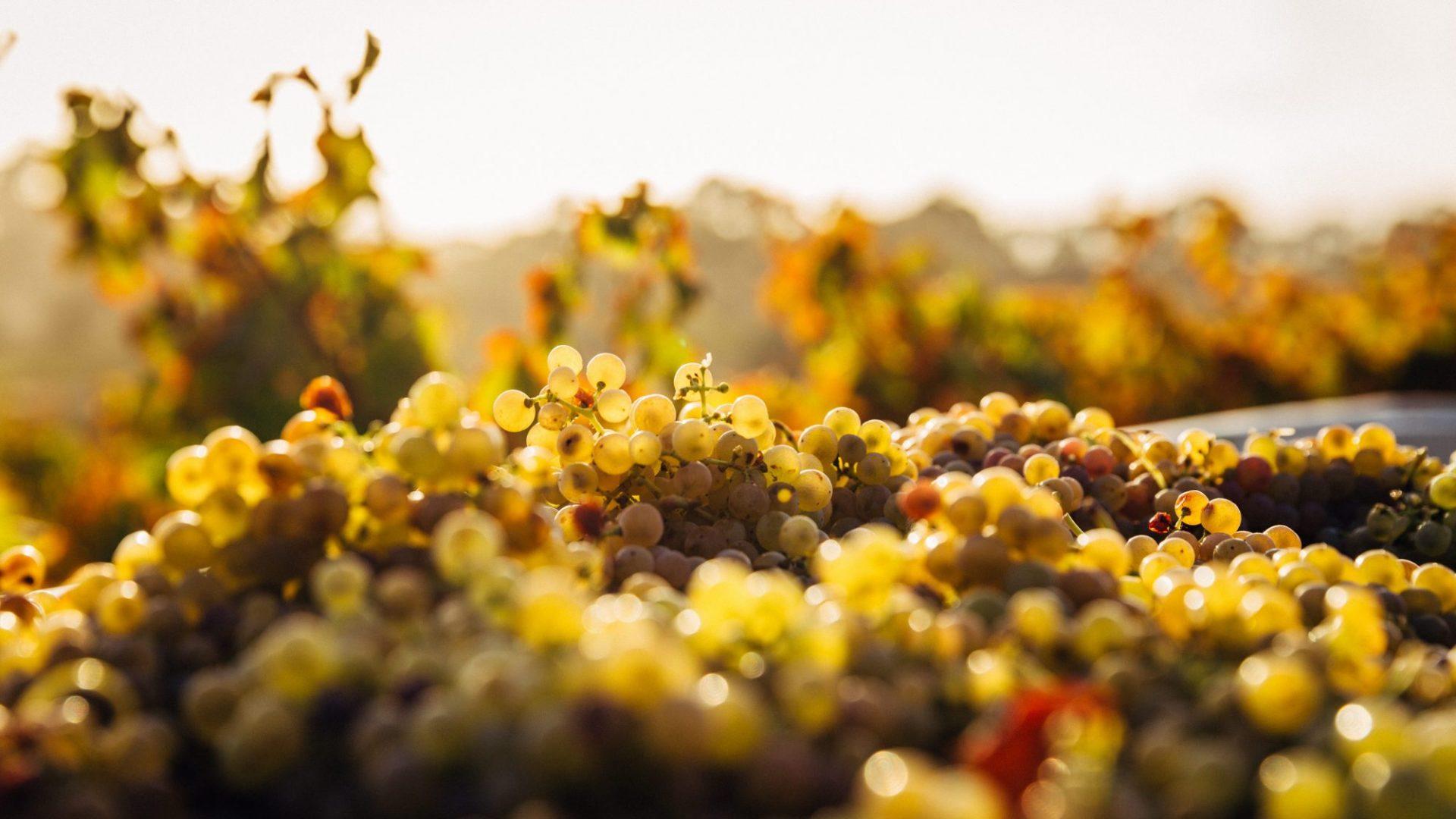grapes blur-1853317
