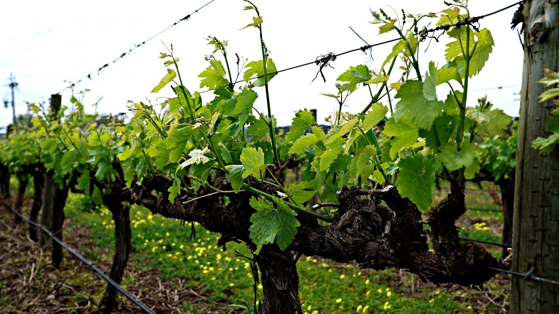 grapevine-2833533