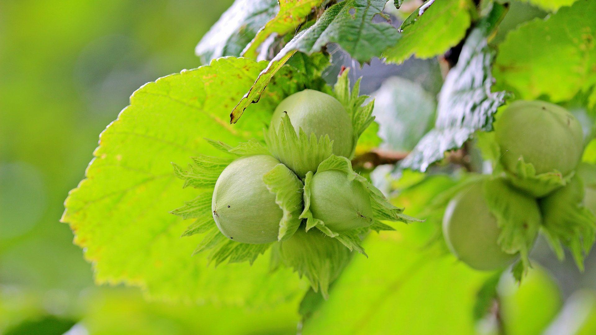 hazelnuts-1574367_1920