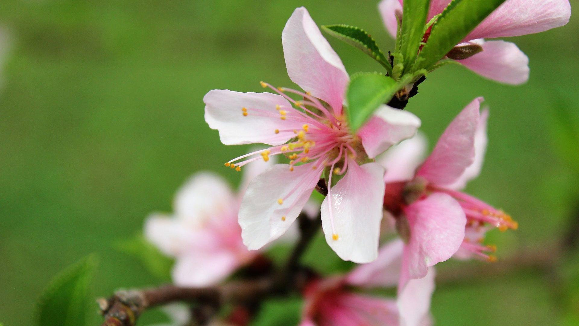 nectarine-flower-3183926_1920