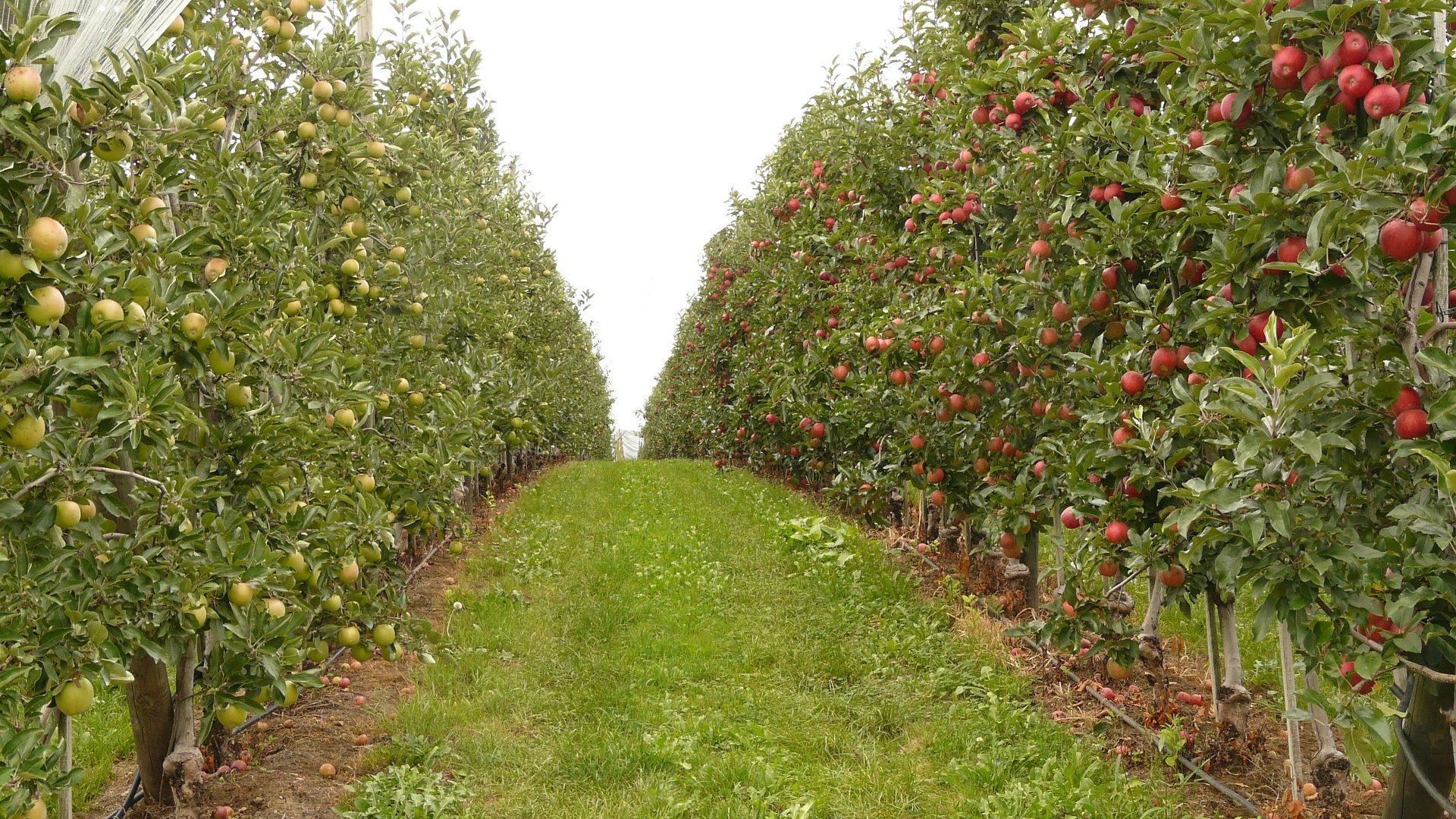 orchard-61007_1920