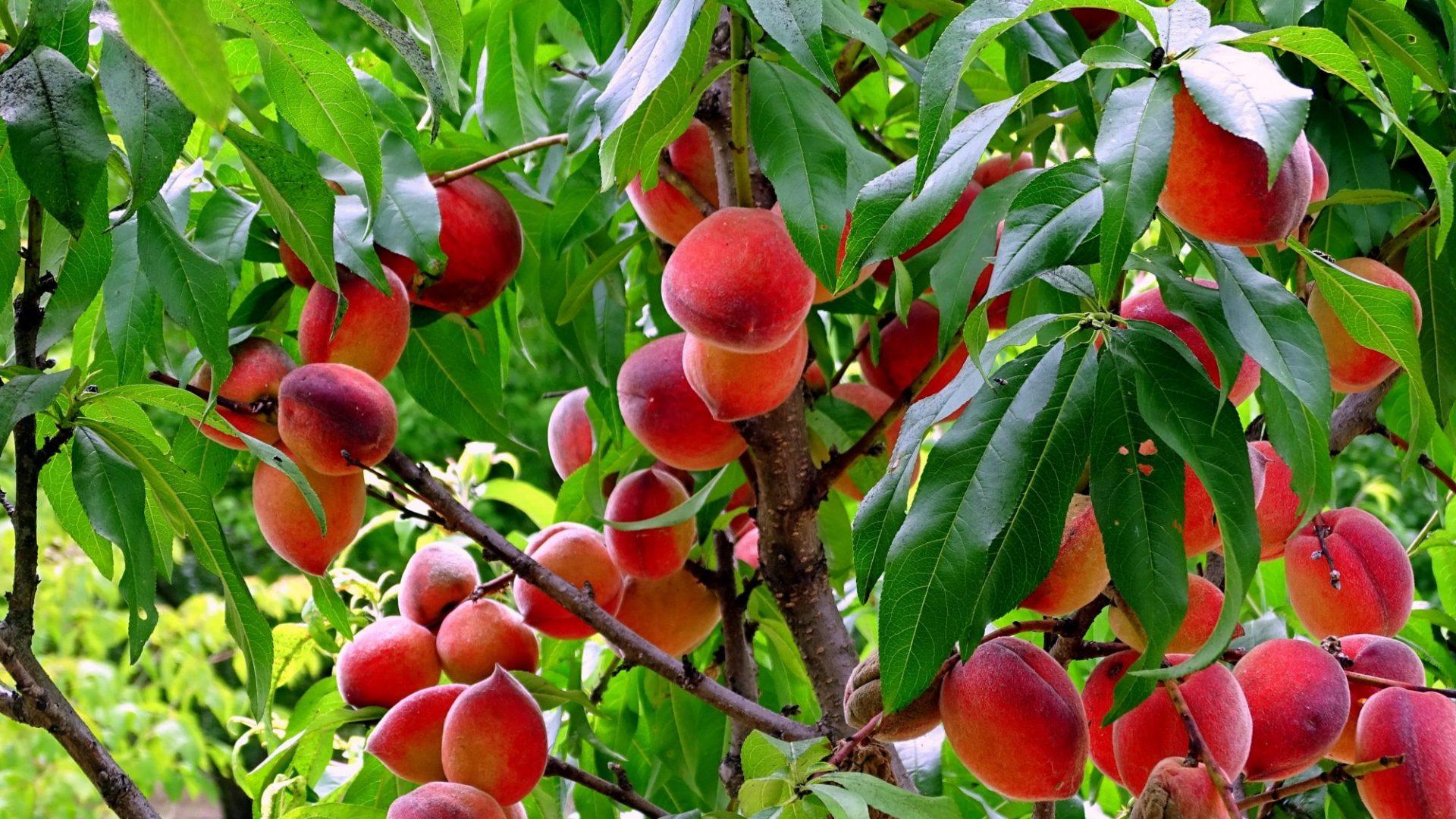 peach-3674288