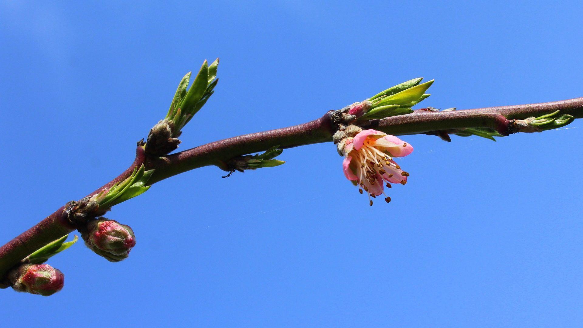 peach blossom-3314627_1920