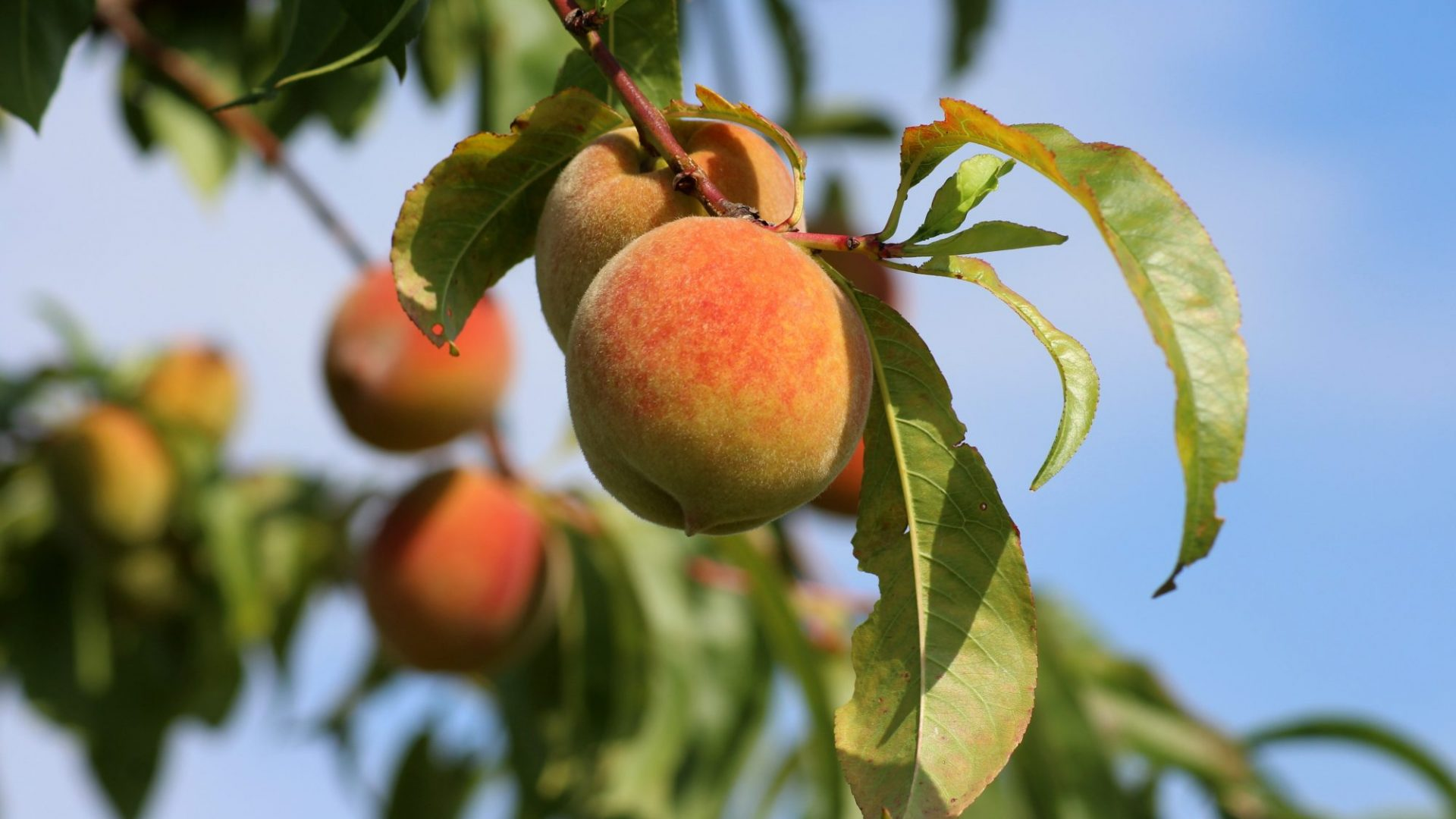 peaches-3529802