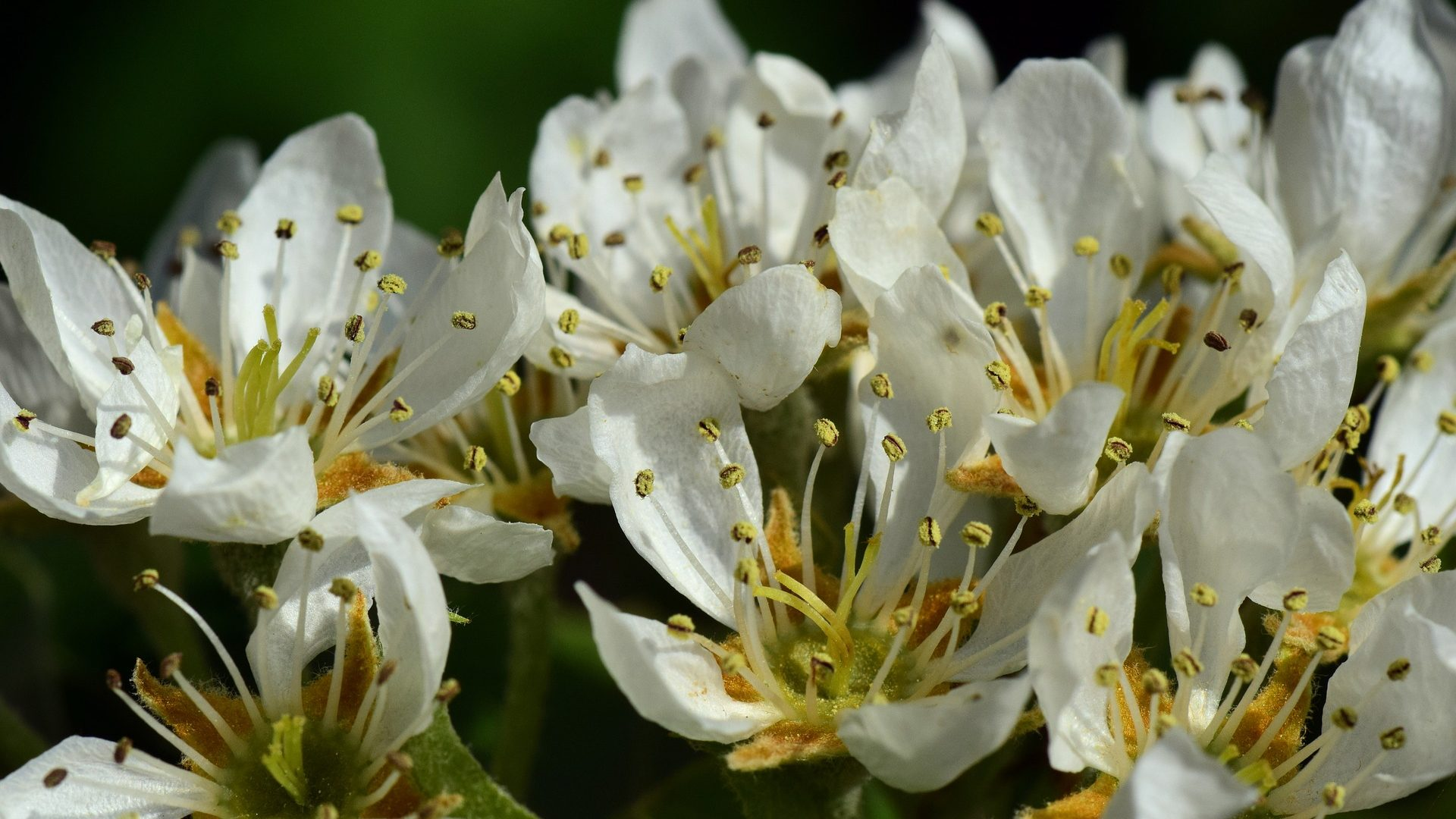 pear blossom-3349459_1920